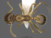 Media of type image, MCZ:Ent:587170 Identified as Pheidole tepicana. . Aspect: dorsal