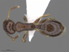 http://mczbase.mcz.harvard.edu/specimen_images/ent-formicidae/automontage/large/MCZ-ENT00593102_Temnothorax_longispinosus_had.jpg