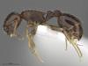 http://mczbase.mcz.harvard.edu/specimen_images/ent-formicidae/automontage/large/MCZ-ENT00593102_Temnothorax_longispinosus_hal.jpg