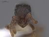 http://mczbase.mcz.harvard.edu/specimen_images/ent-formicidae/automontage/large/MCZ-ENT00649398_Cerapachys_decamerus_hef.jpg