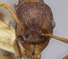 Media of type image, MCZ:Ent:674345 Identified as Myrmica tahoensis.