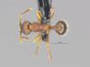 http://mczbase.mcz.harvard.edu/specimen_images/ent-formicidae/automontage/large/MCZ-ENT00674595_Myrmica_sp19_had.jpg