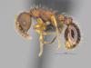 http://mczbase.mcz.harvard.edu/specimen_images/ent-formicidae/automontage/large/MCZ-ENT00674595_Myrmica_sp19_hal.jpg