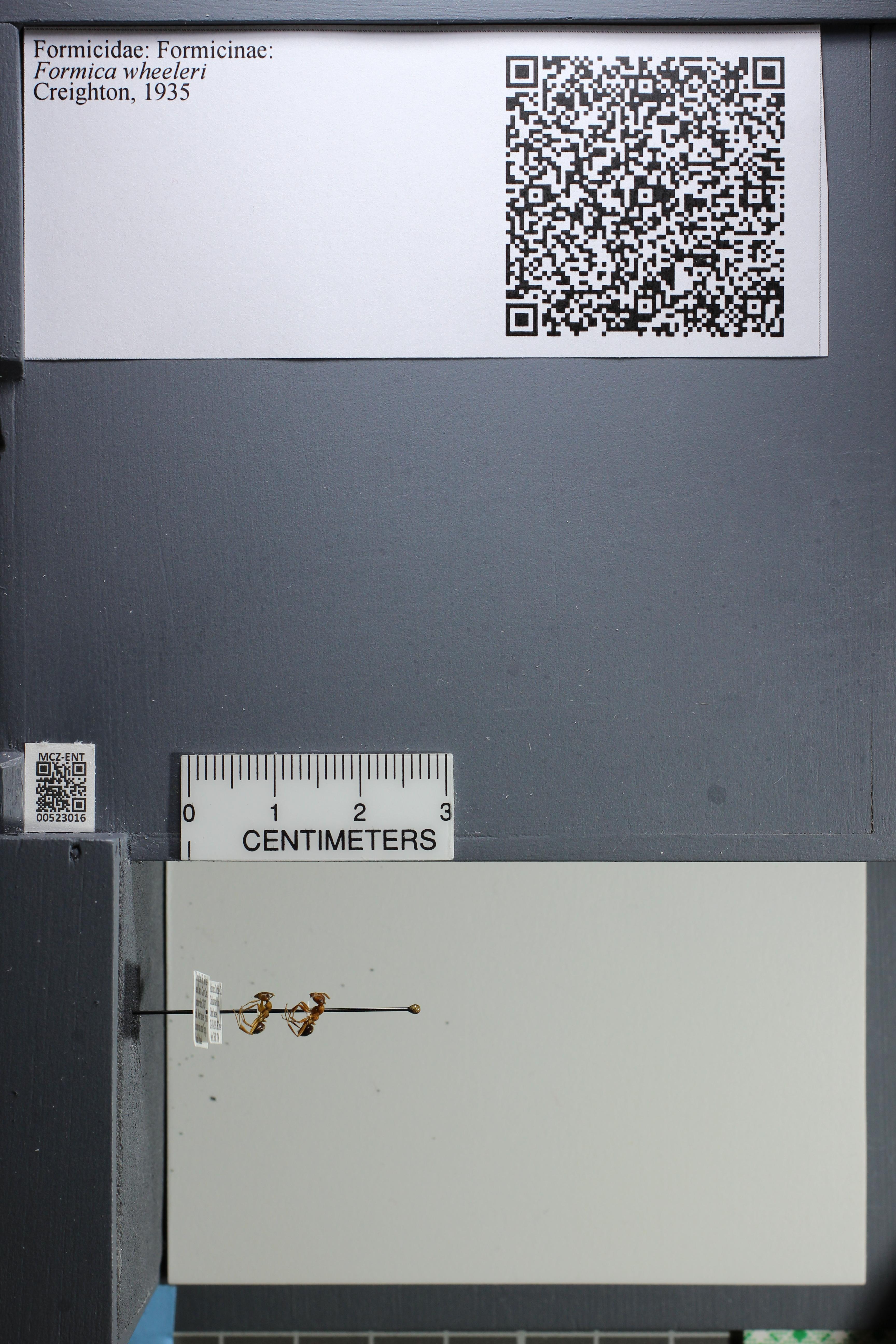http://mczbase.mcz.harvard.edu/specimen_images/ent-formicidae/datashot/2014_02_19/IMG_300634.JPG