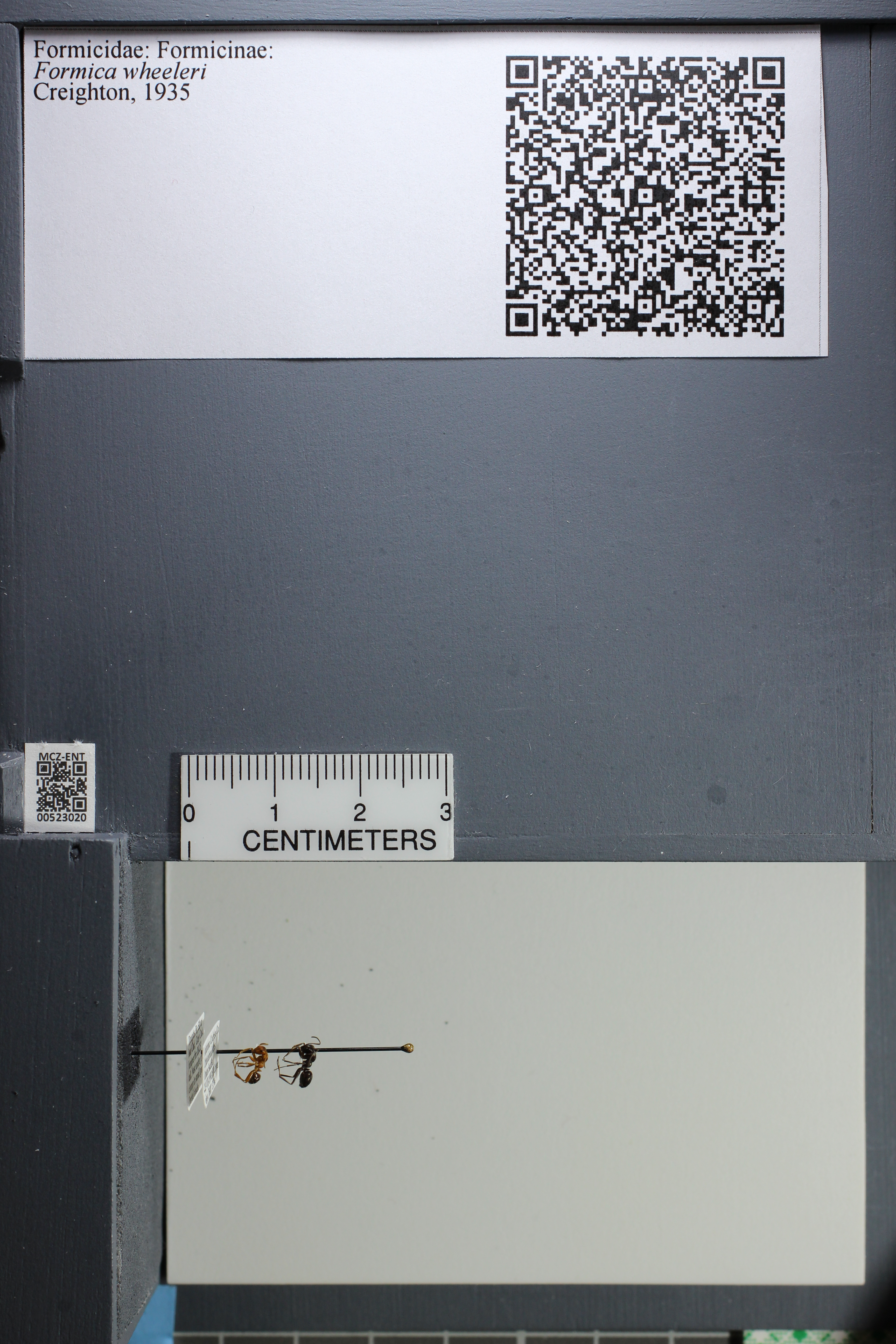 http://mczbase.mcz.harvard.edu/specimen_images/ent-formicidae/datashot/2014_02_19/IMG_300638.JPG