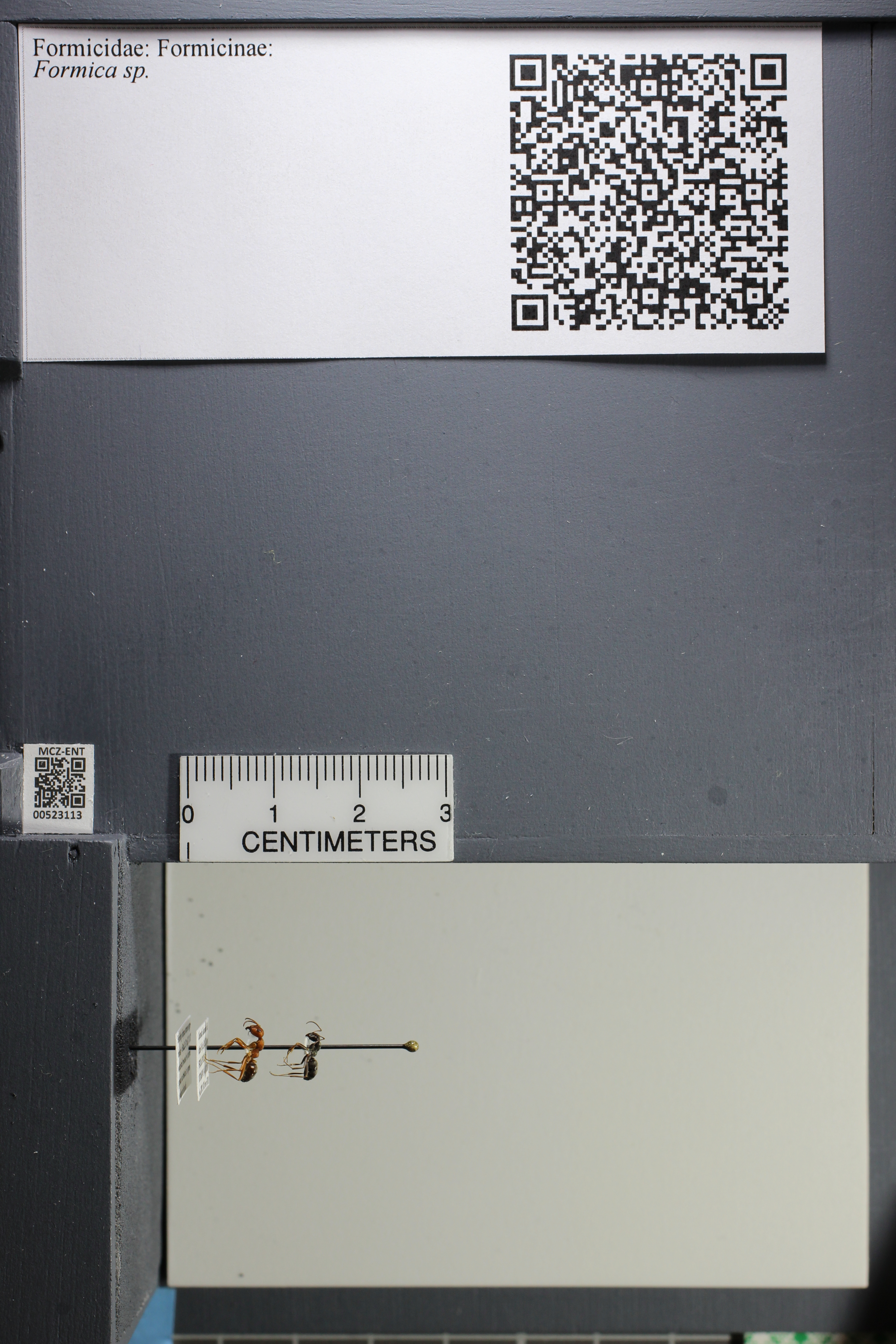 http://mczbase.mcz.harvard.edu/specimen_images/ent-formicidae/datashot/2014_02_25/IMG_300703.JPG