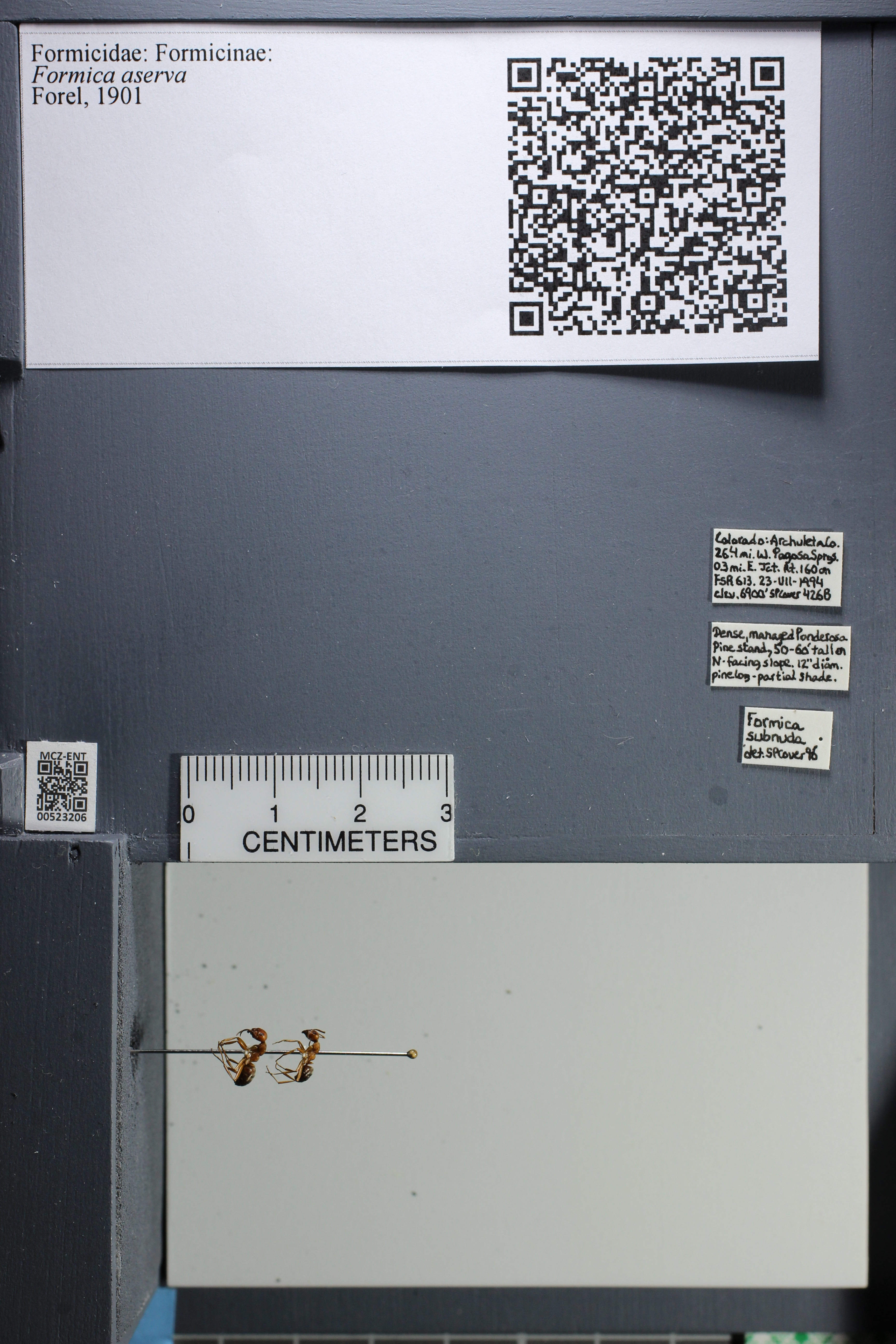 Media of type image, shows cataloged_item. MCZ:Ent:523206 Identified as Formica aserva.
