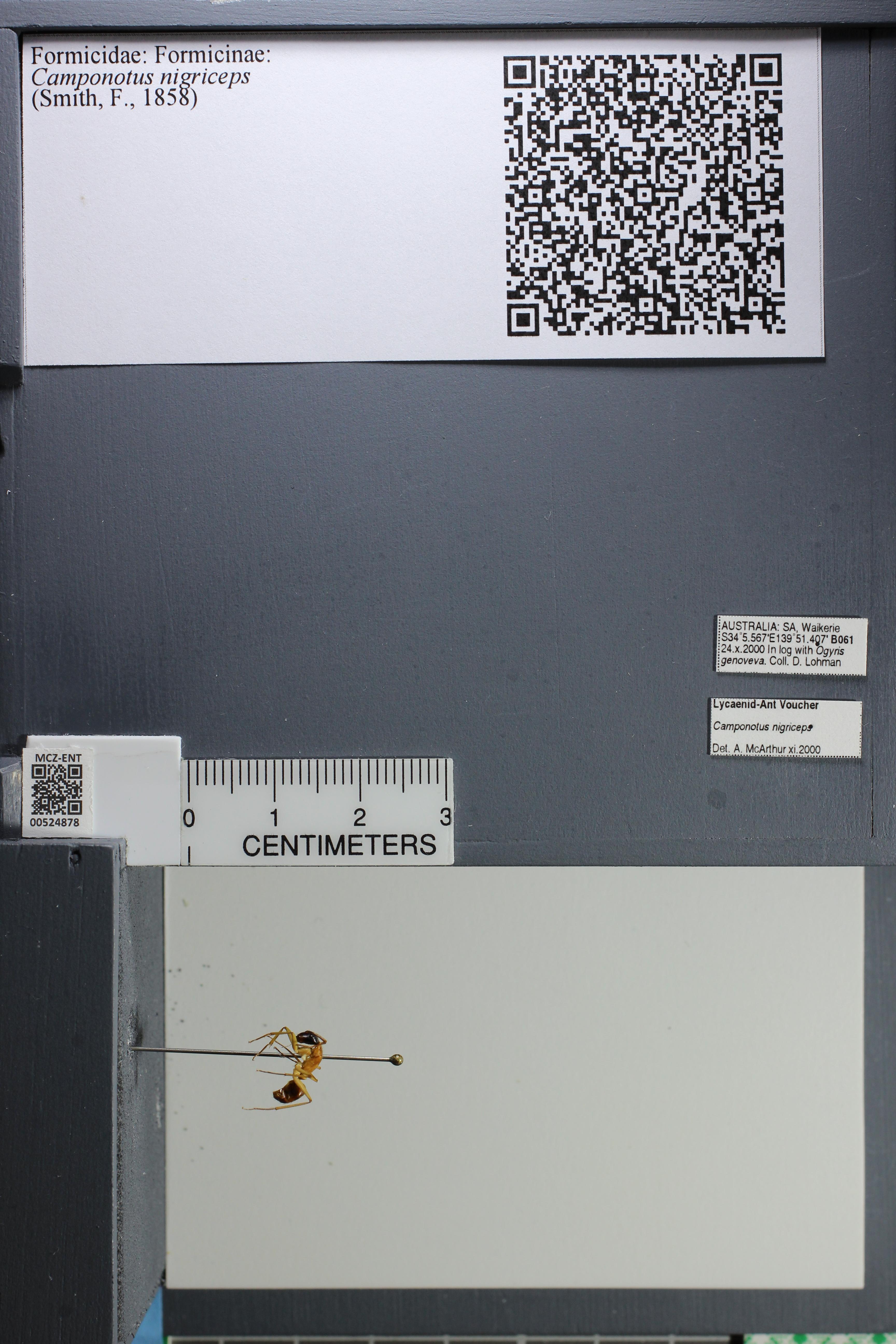 Image of Camponotus nigriceps