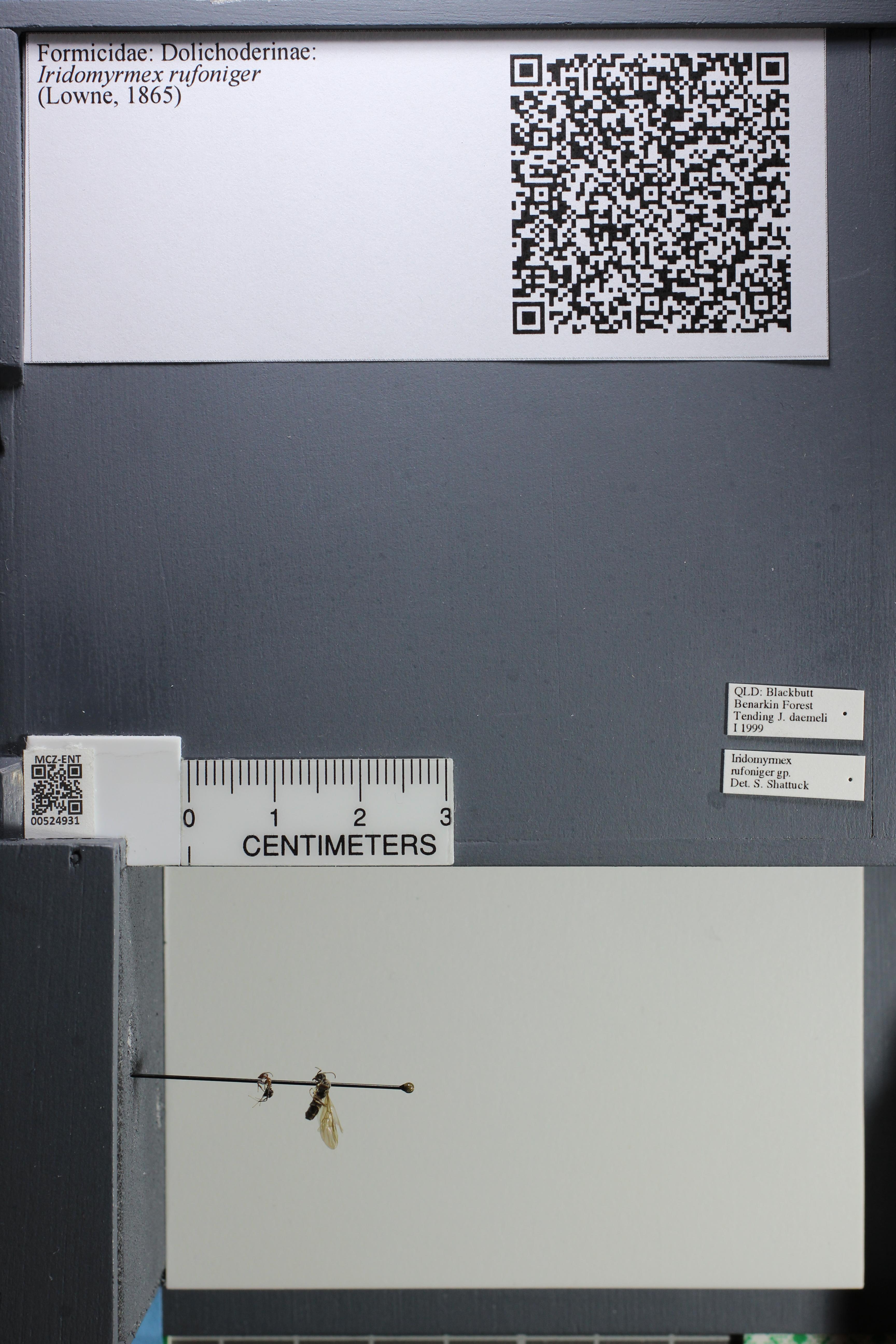 Image of Iridomyrmex rufoniger