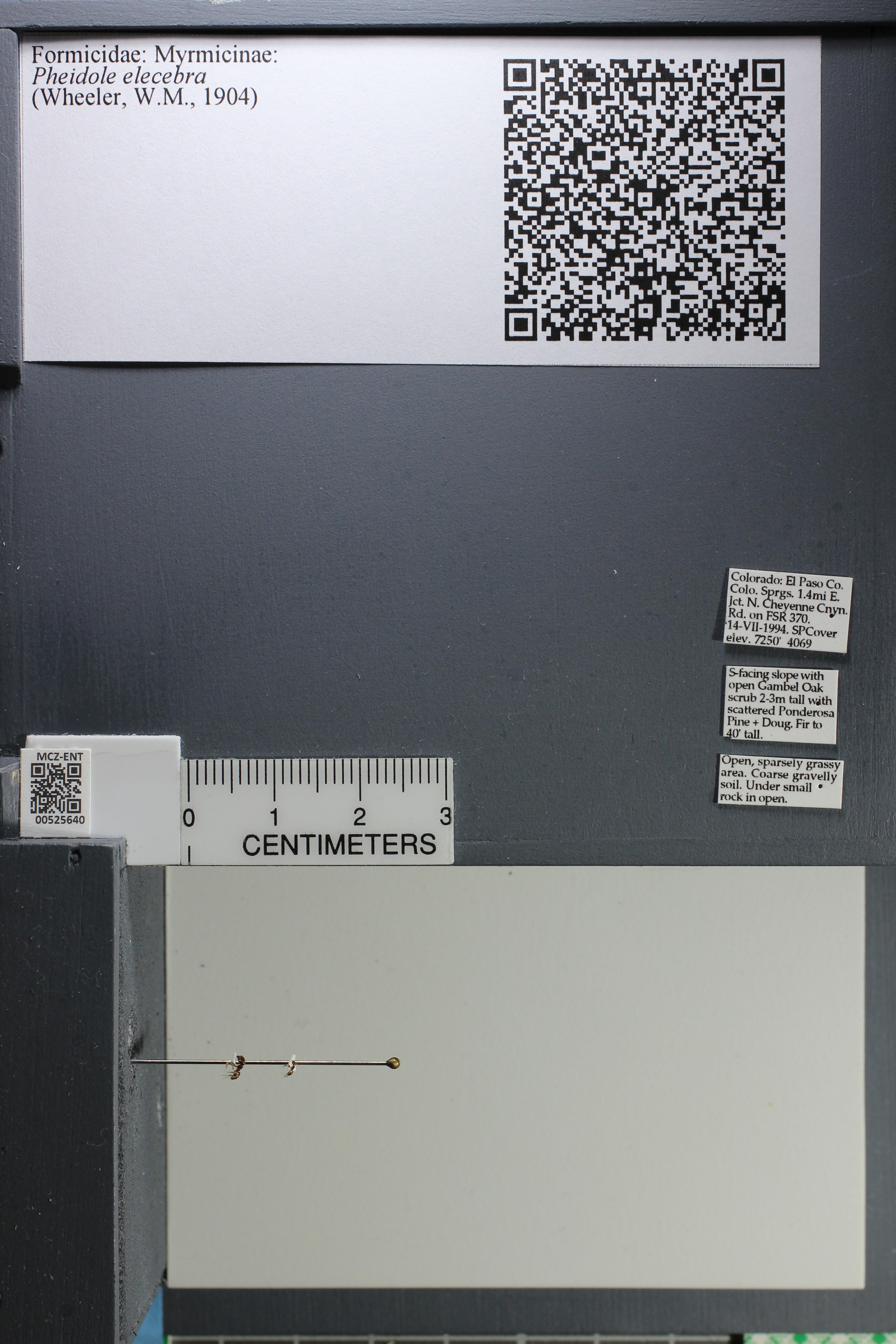 Media of type image, MCZ:Ent:525640 Identified as Pheidole elecebra.