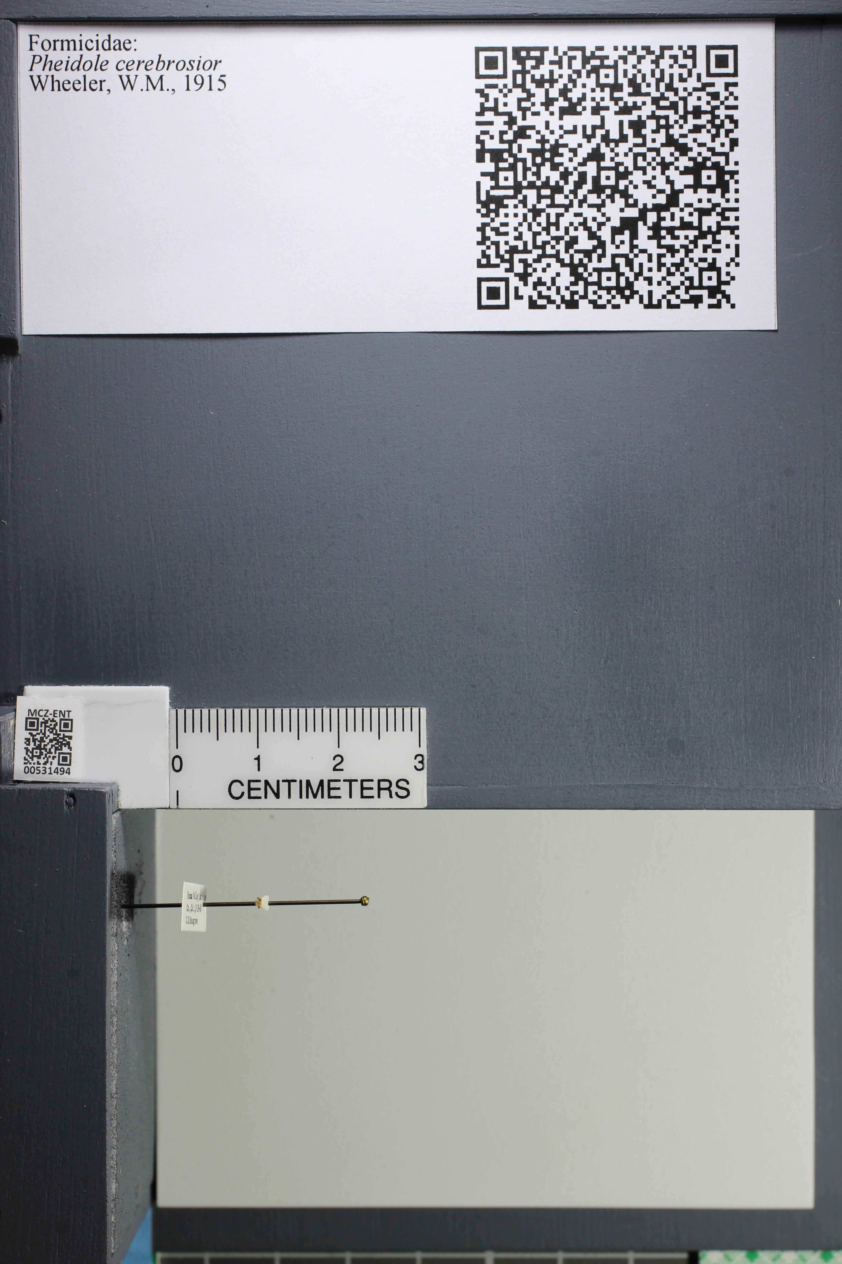 Media of type image, MCZ:Ent:531494 Identified as Pheidole cerebrosior.