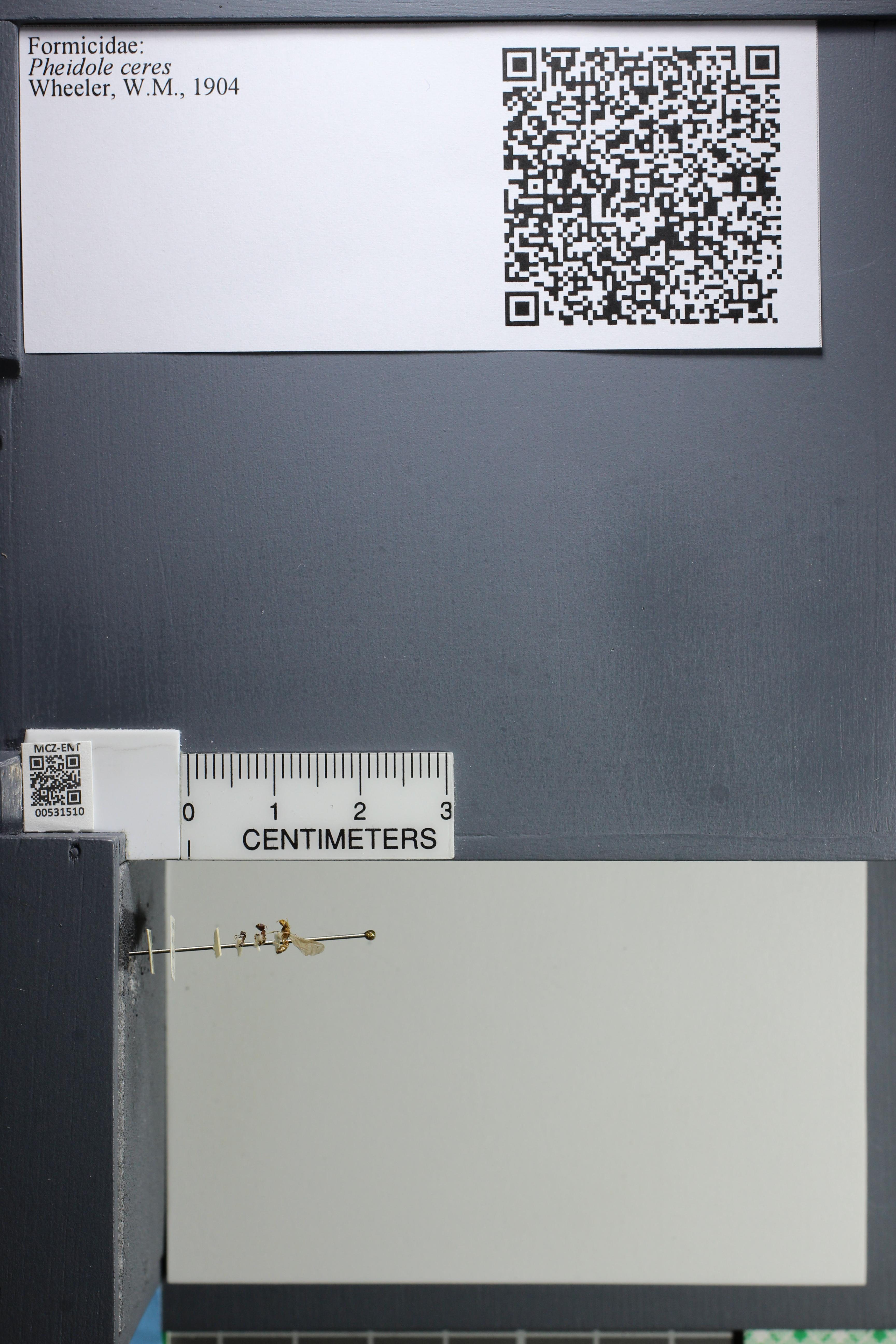 http://mczbase.mcz.harvard.edu/specimen_images/ent-formicidae/datashot/2014_08_13/IMG_303288.JPG