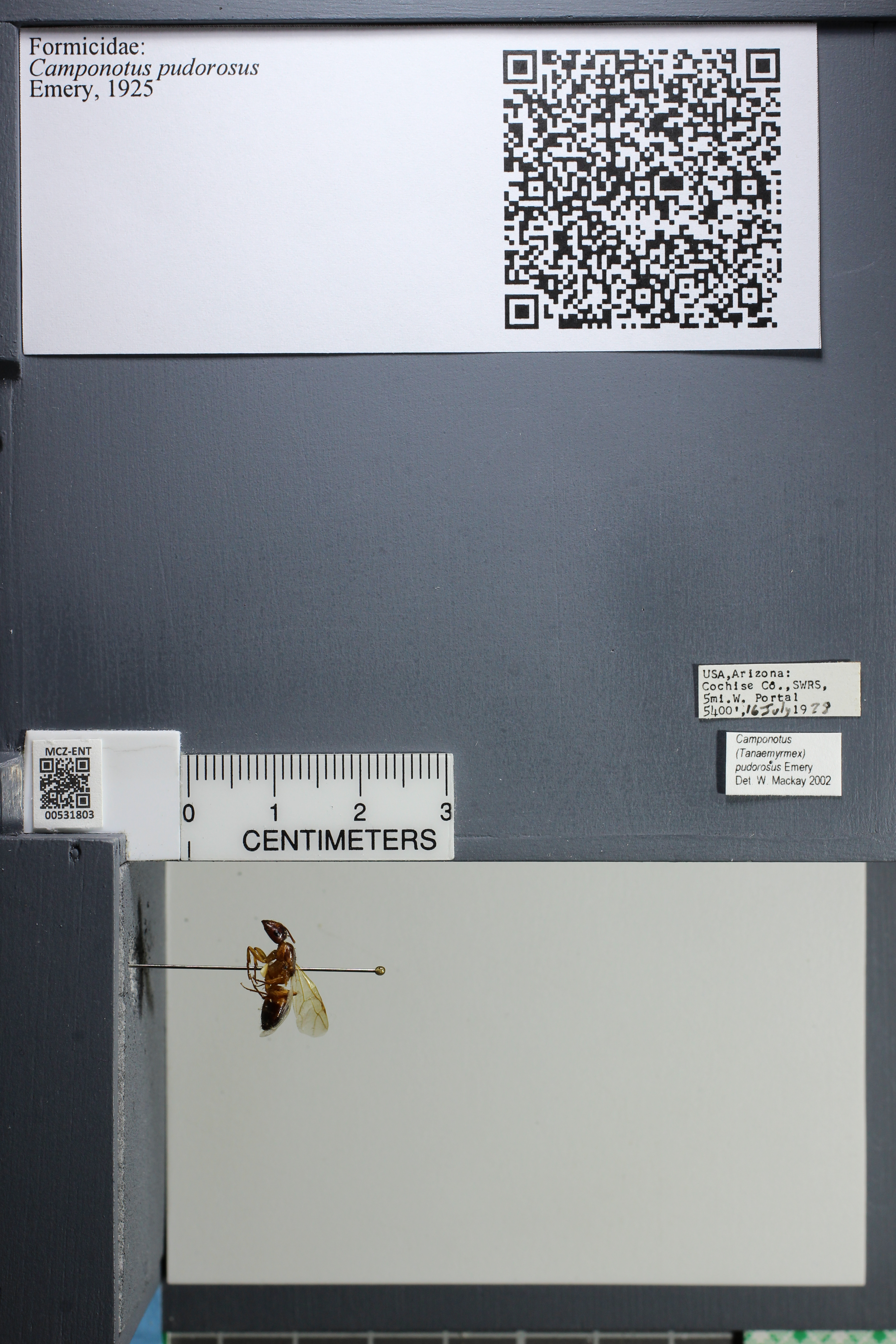 Image of Camponotus pudorosus