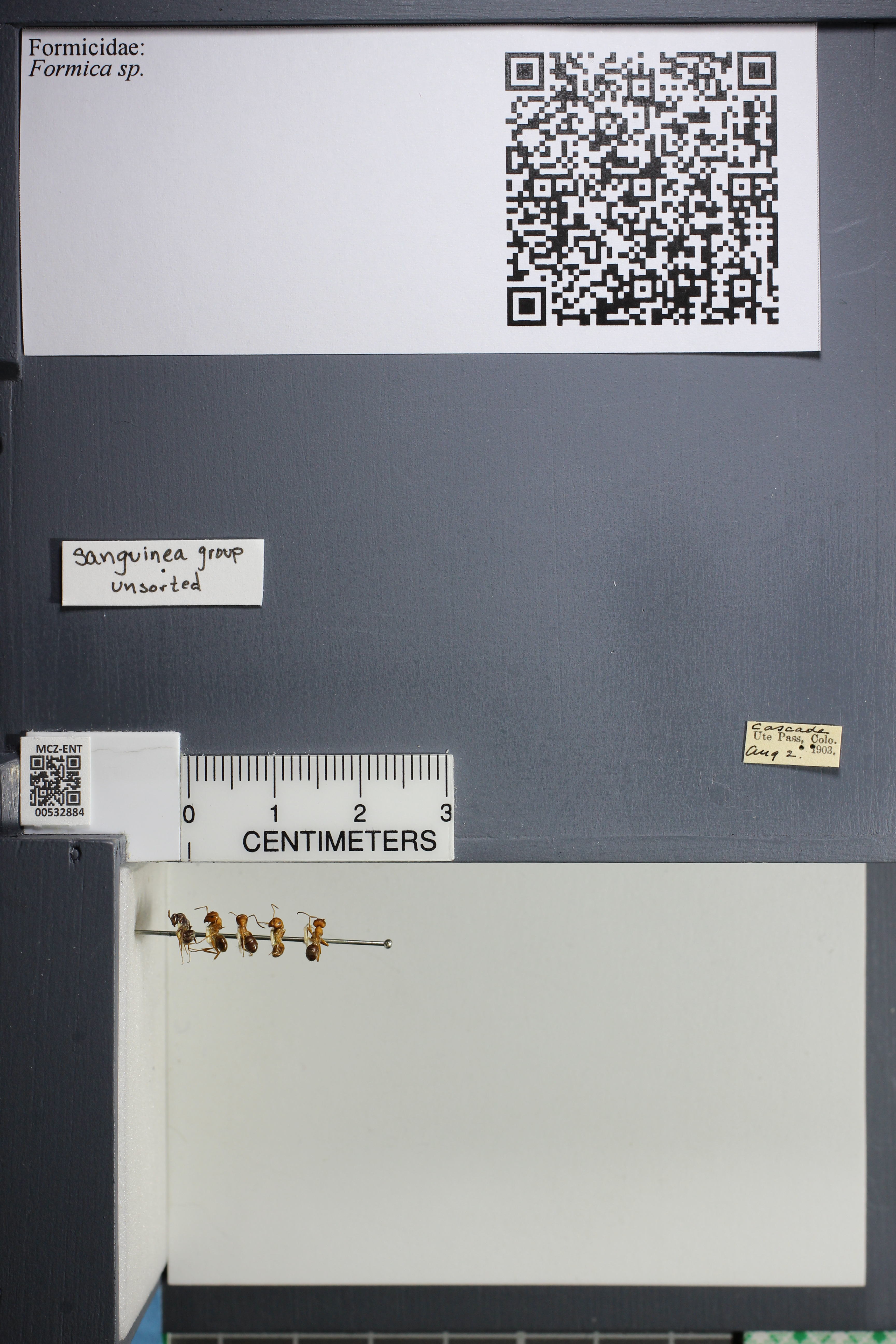 Media of type image, MCZ:Ent:532884 Identified as Formica sp..