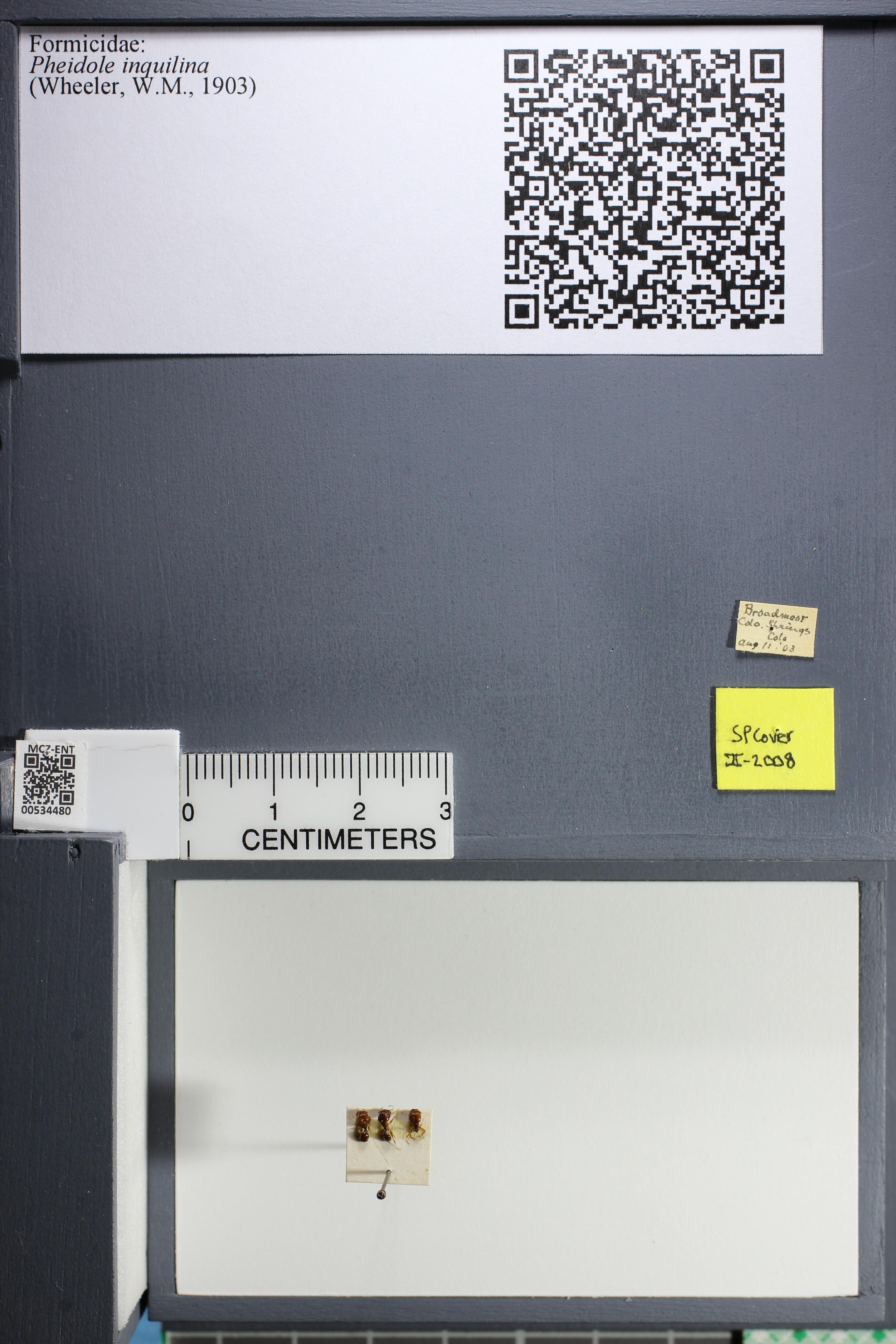 Media of type image, MCZ:Ent:534480 Identified as Pheidole pilifera.