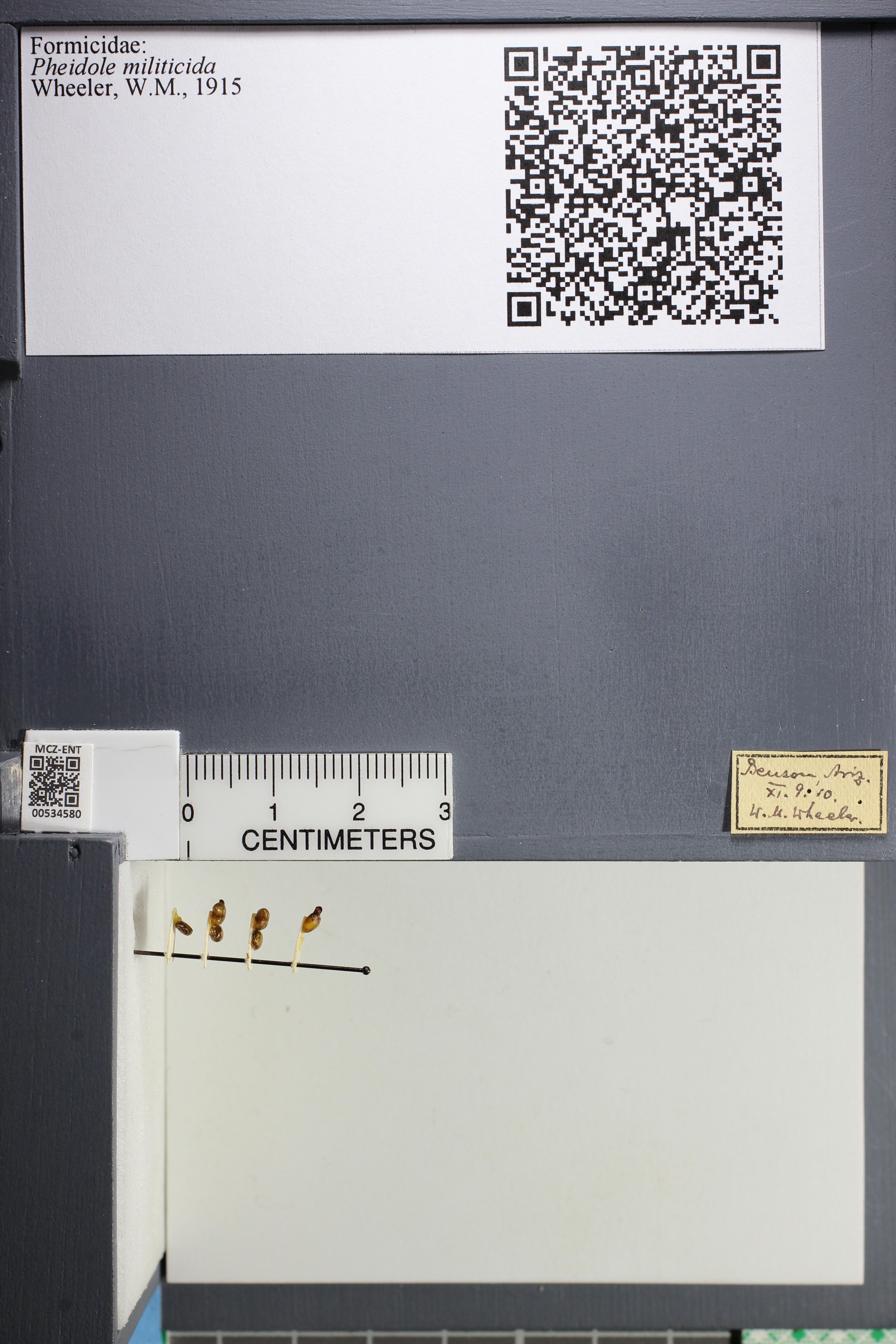 Media of type image, MCZ:Ent:534580 Identified as Pheidole militicida.