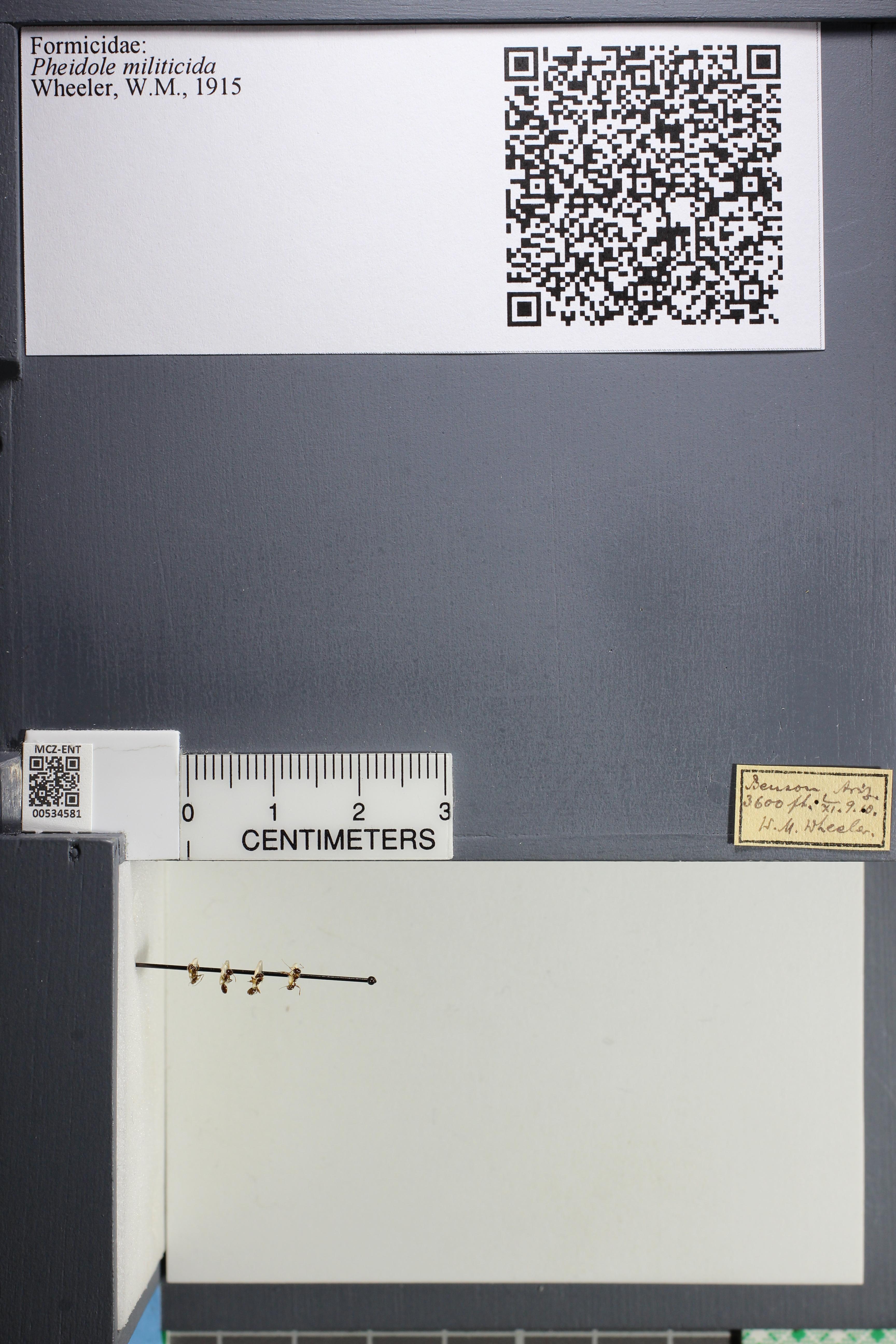 Media of type image, MCZ:Ent:534581 Identified as Pheidole militicida.