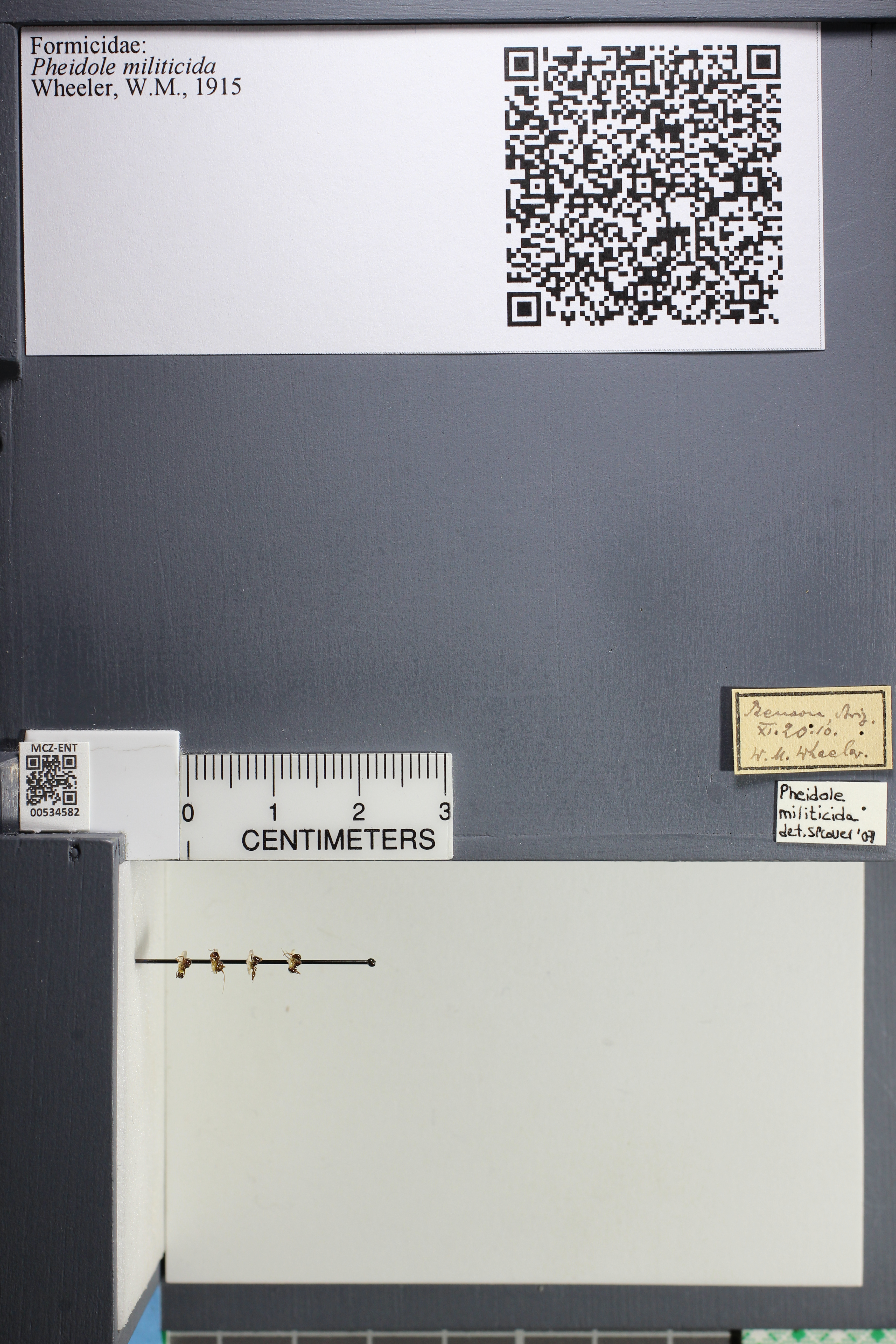 Media of type image, MCZ:Ent:534582 Identified as Pheidole militicida.