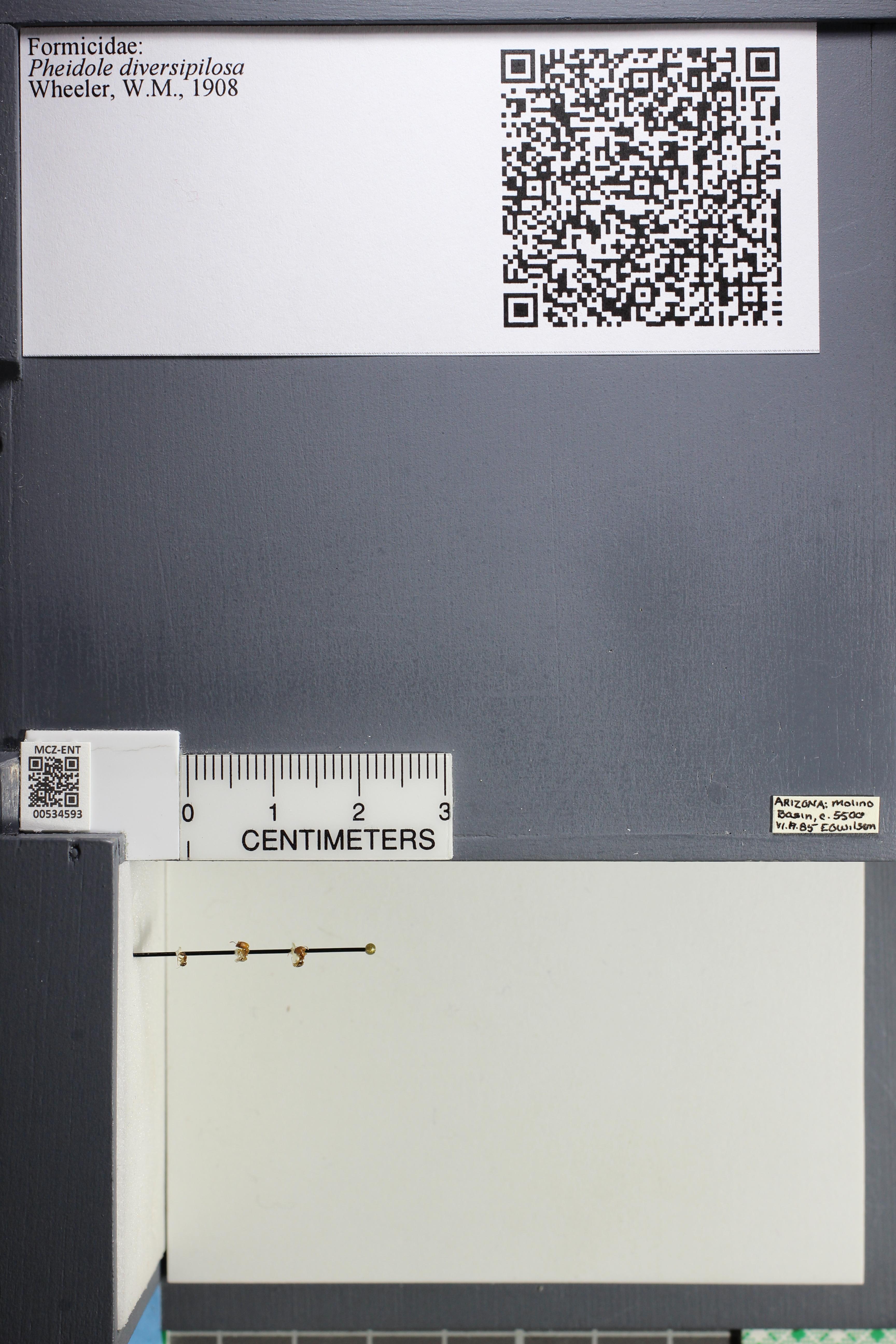 Media of type image, MCZ:Ent:534593 Identified as Pheidole diversipilosa.