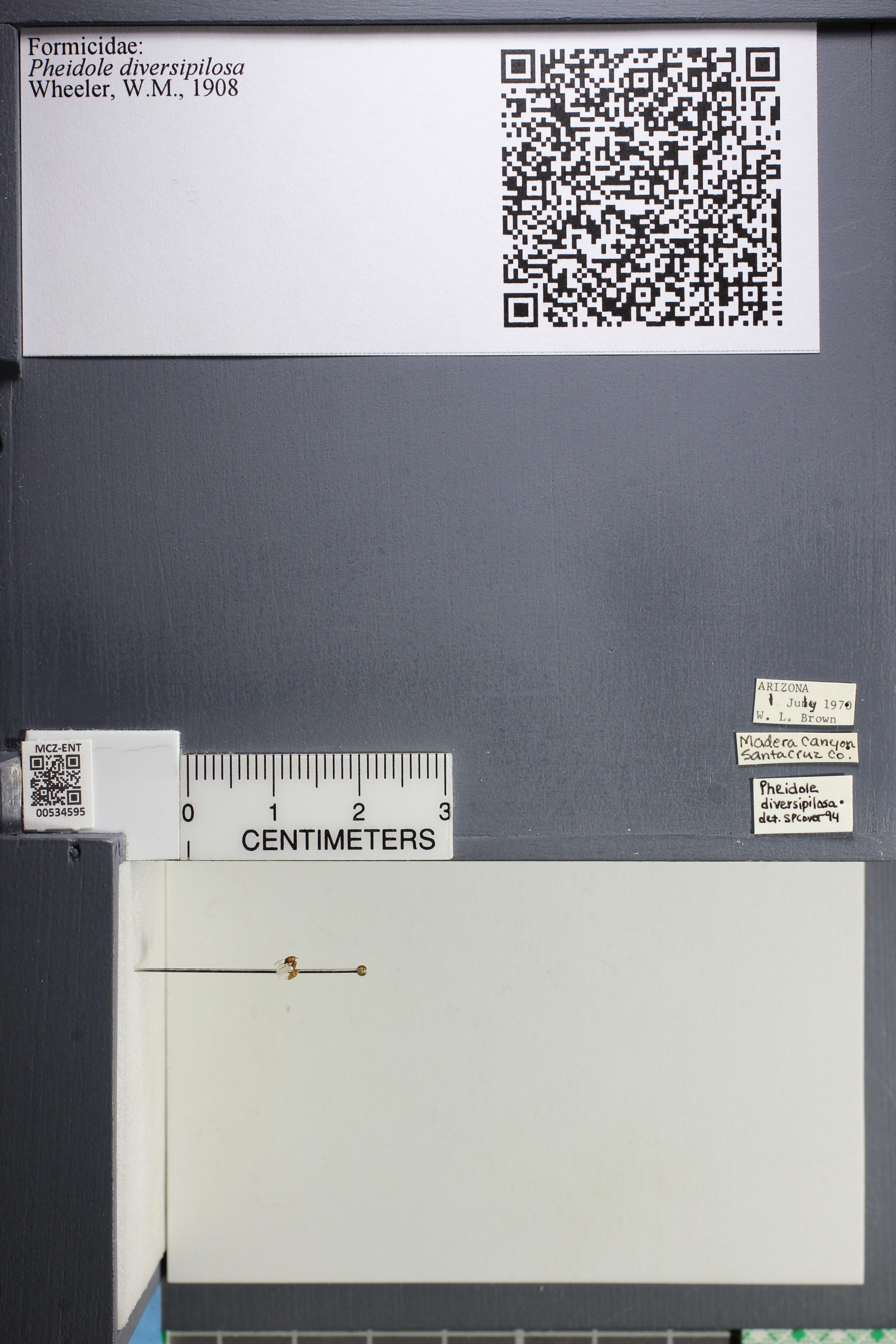 Media of type image, MCZ:Ent:534595 Identified as Pheidole diversipilosa.