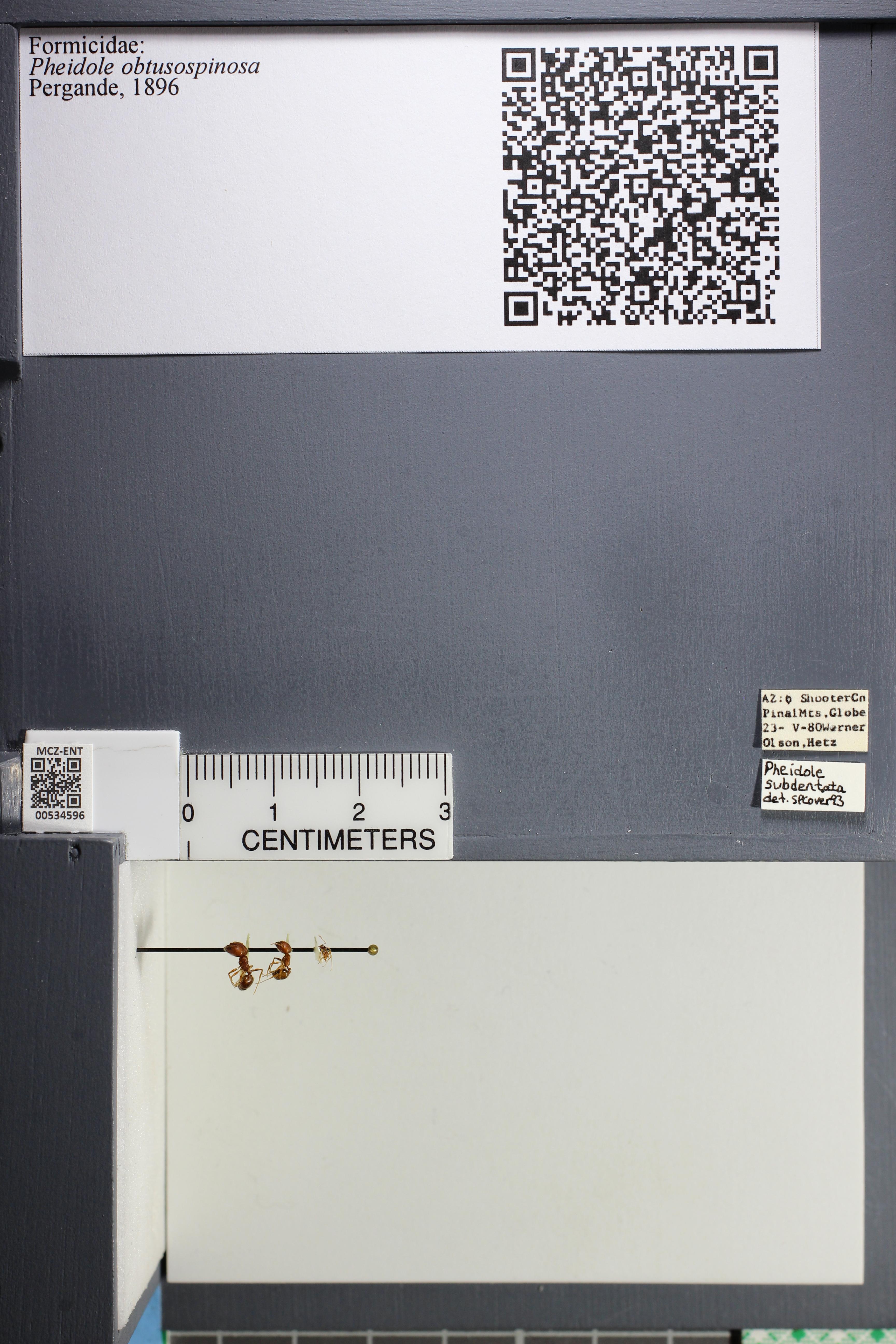 Media of type image, MCZ:Ent:534596 Identified as Pheidole obtusospinosa.