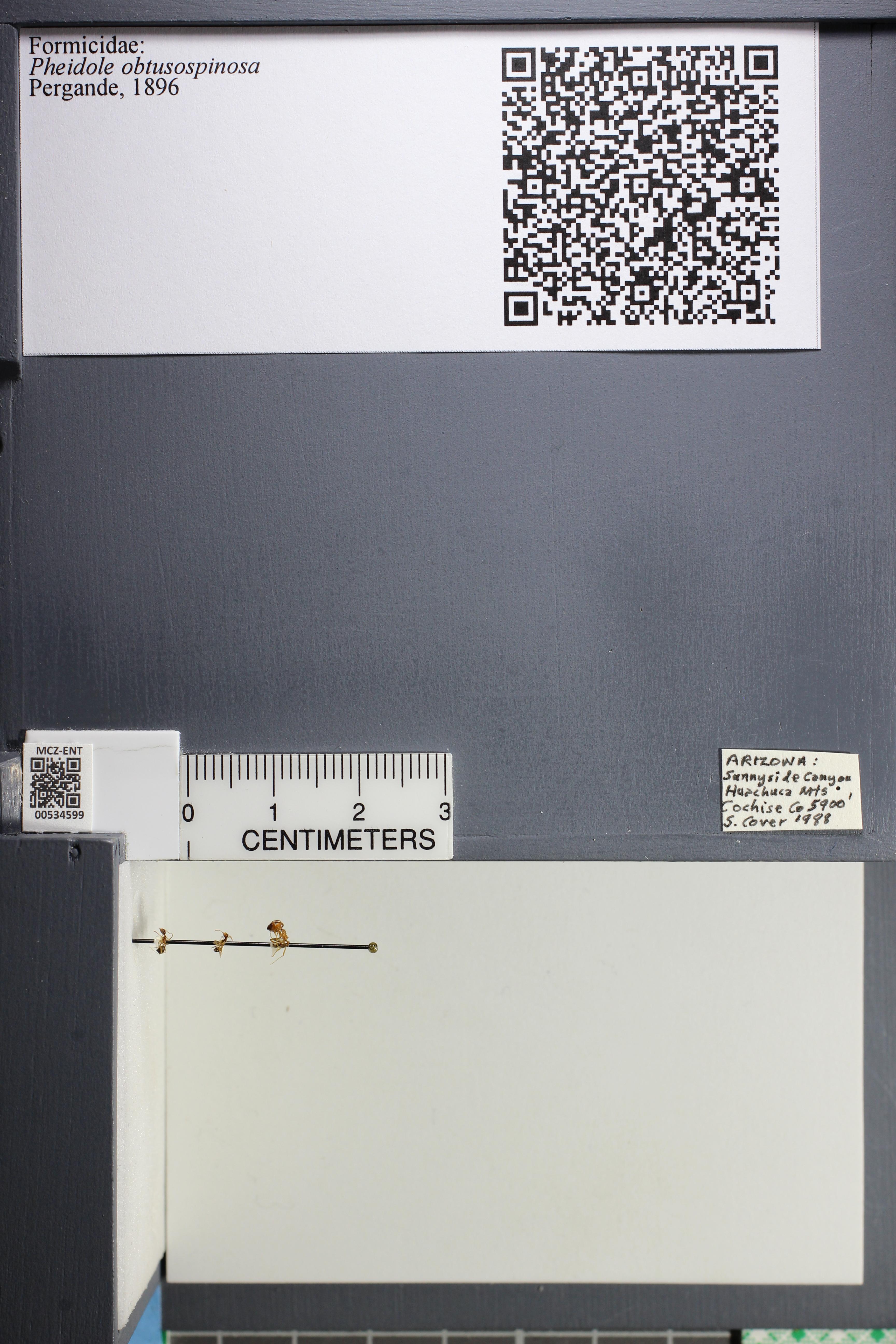 Media of type image, MCZ:Ent:534599 Identified as Pheidole obtusospinosa.