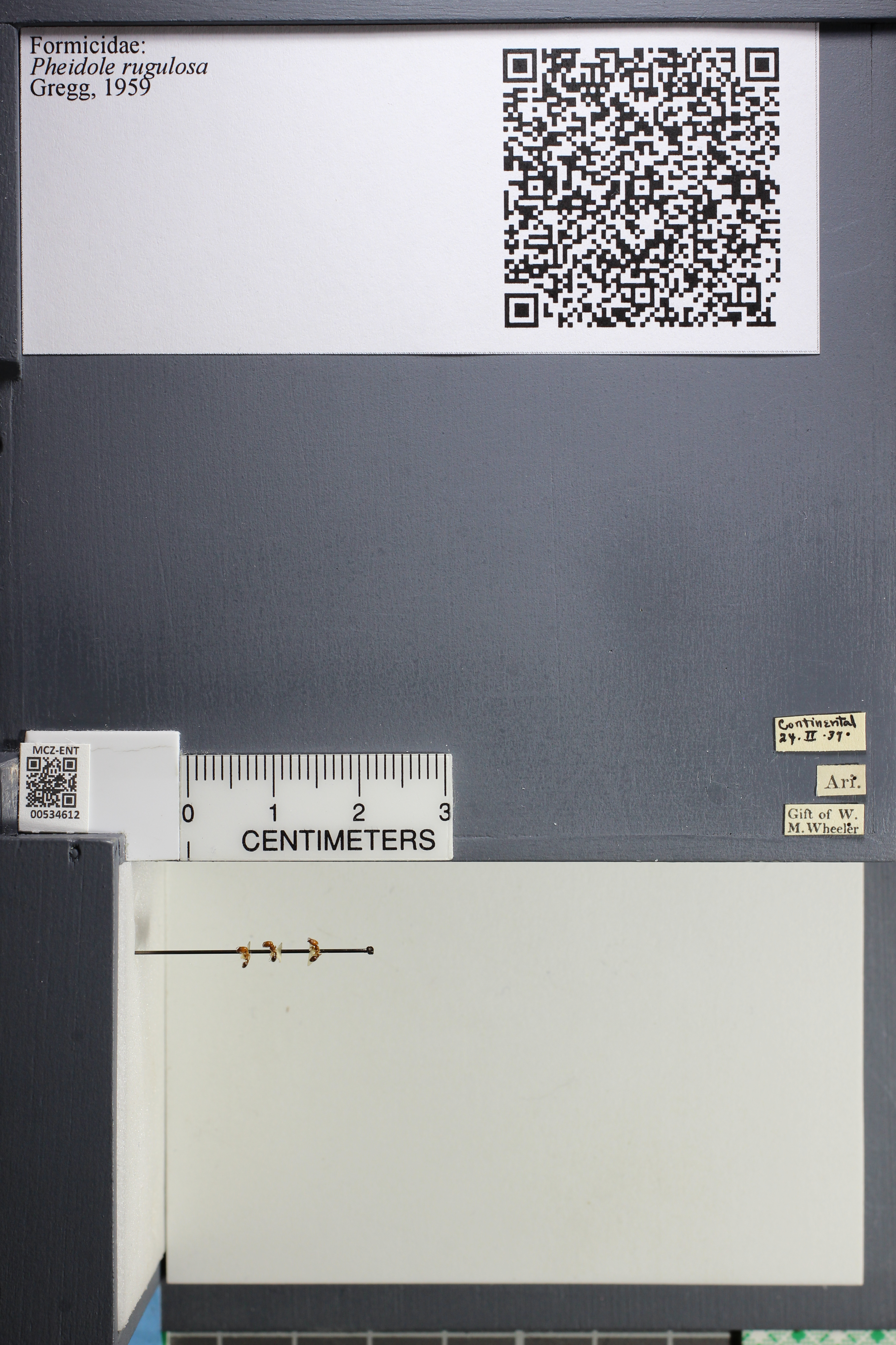 Media of type image, MCZ:Ent:534612 Identified as Pheidole rugulosa.