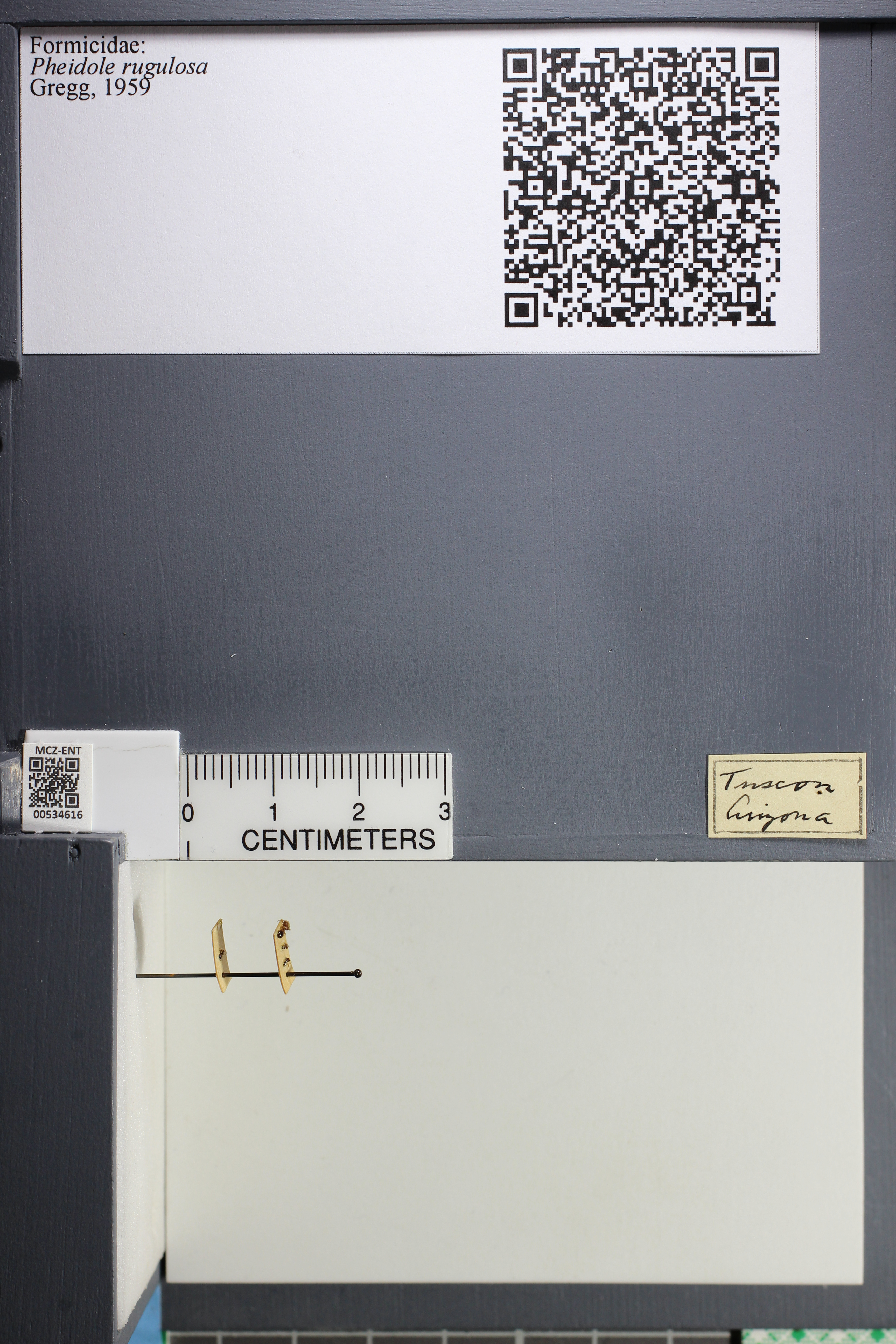 Media of type image, MCZ:Ent:534616 Identified as Pheidole rugulosa.