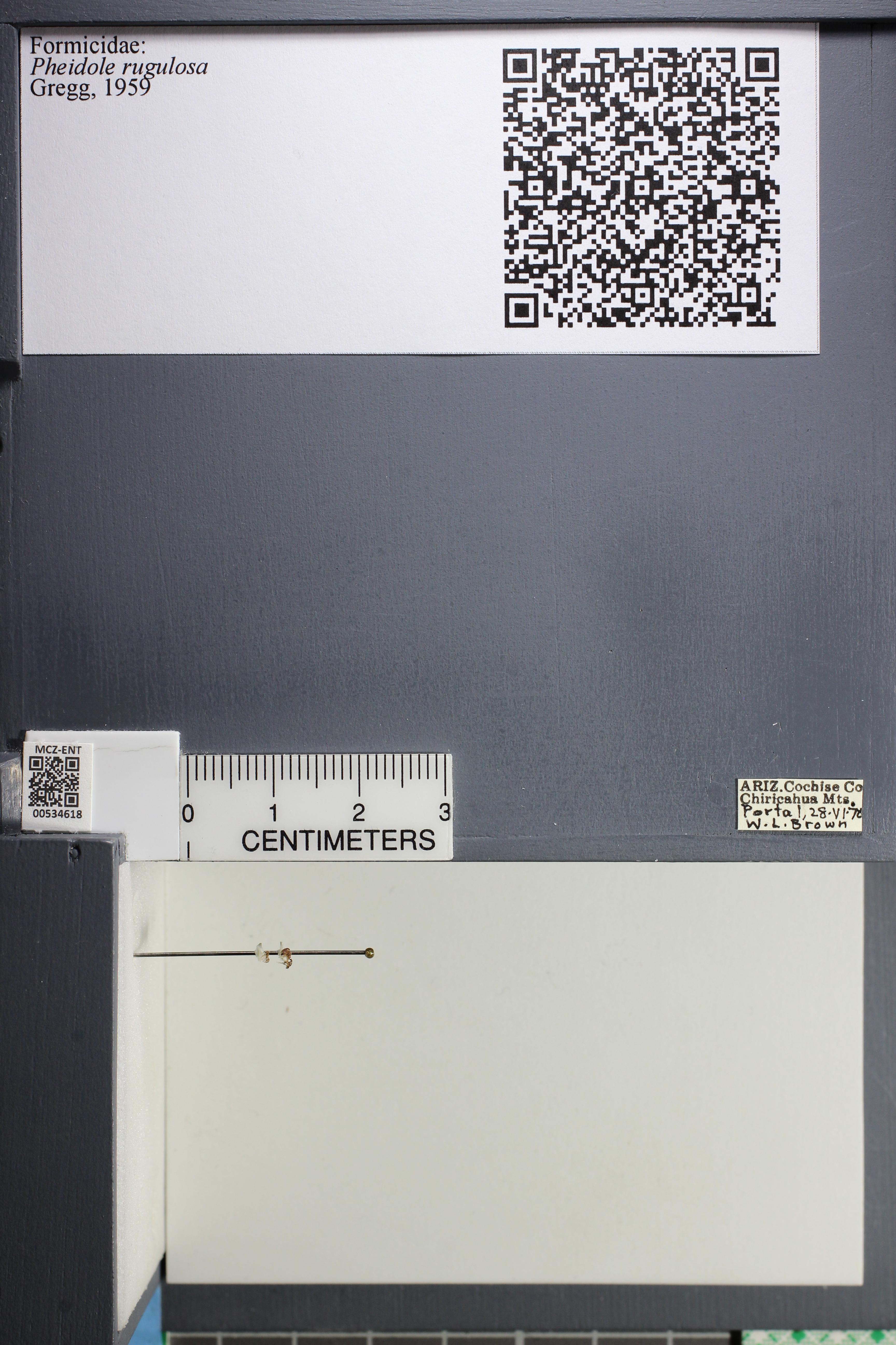 Media of type image, MCZ:Ent:534618 Identified as Pheidole rugulosa.