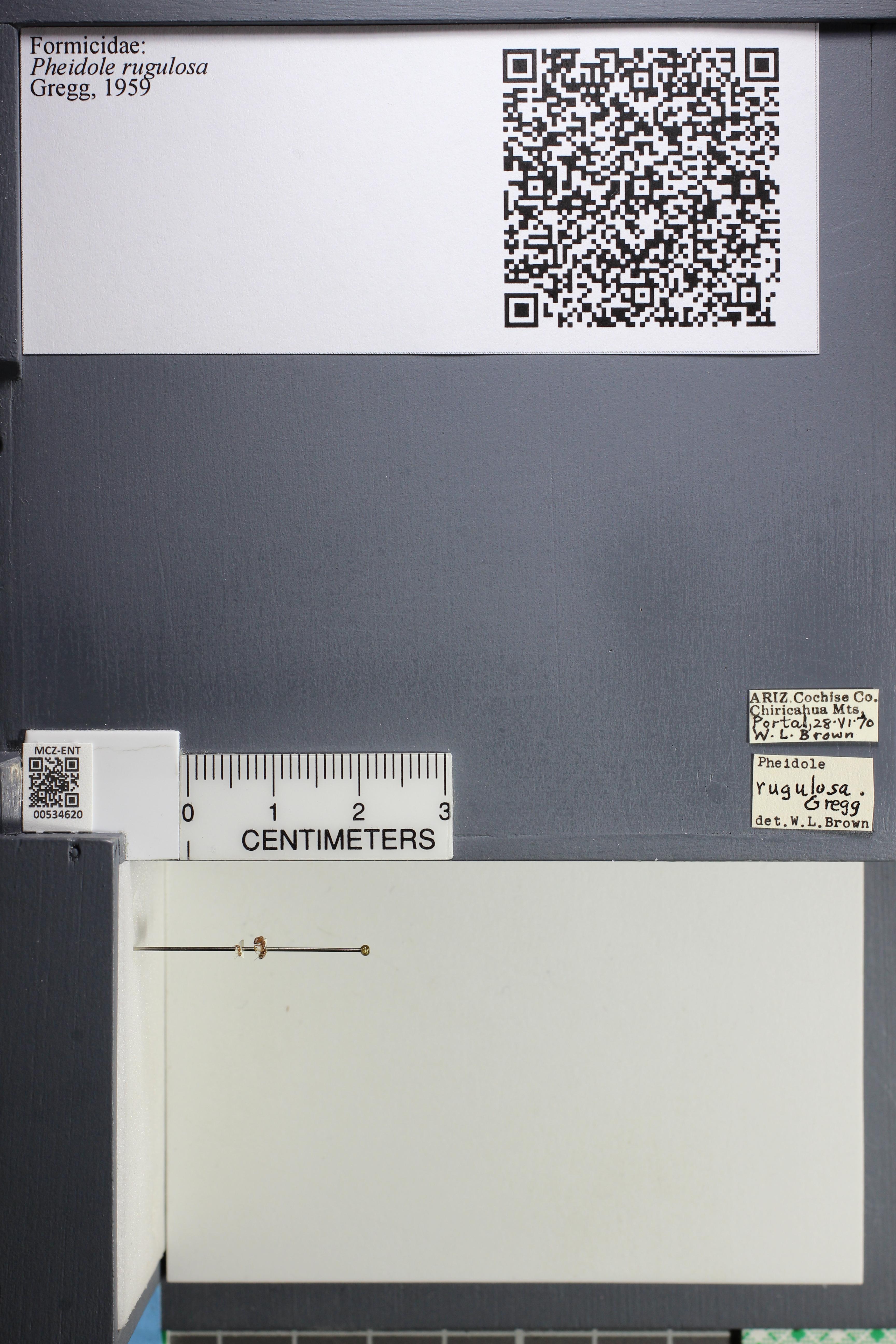Media of type image, MCZ:Ent:534620 Identified as Pheidole rugulosa.