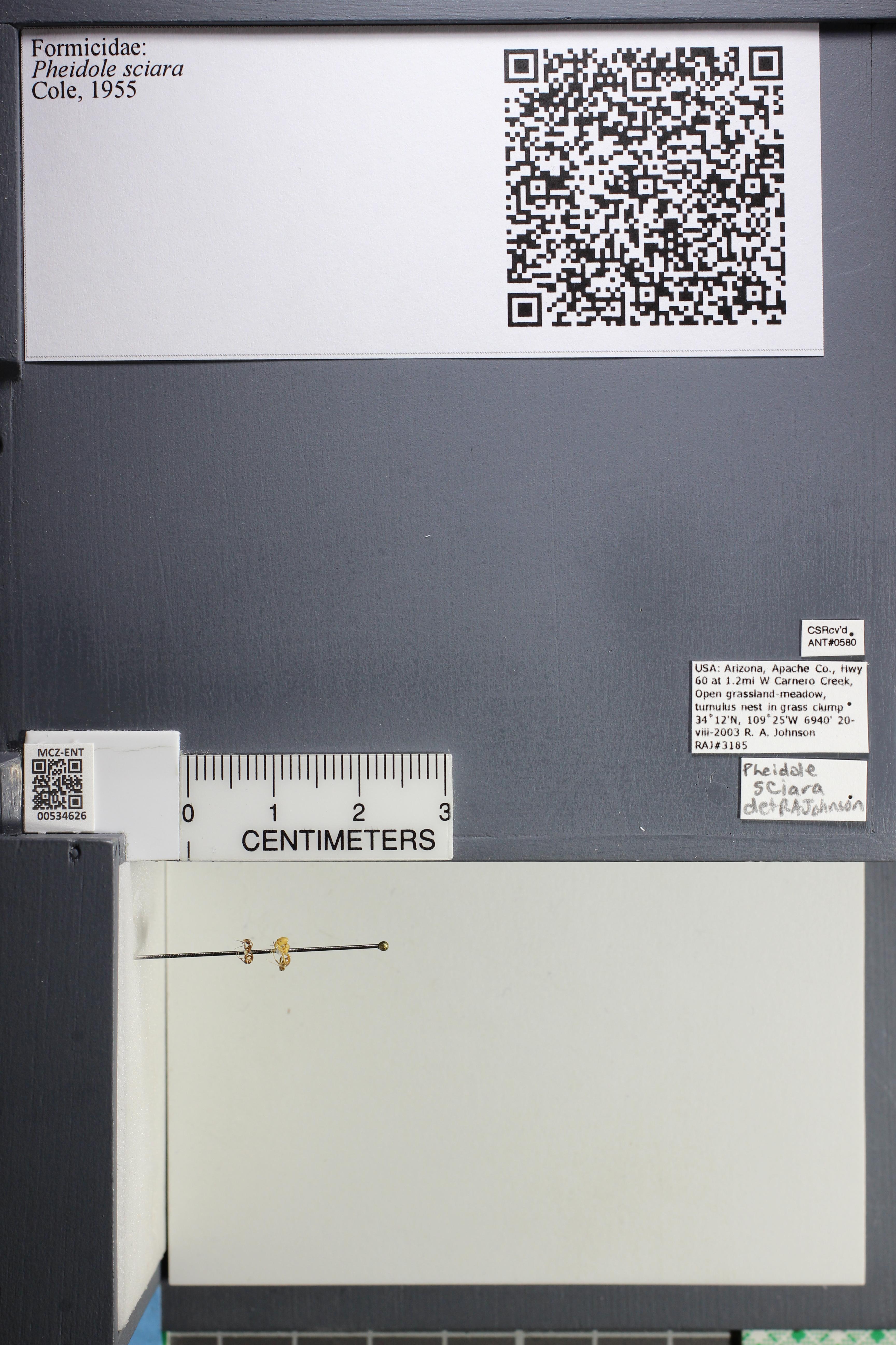 Media of type image, MCZ:Ent:534626 Identified as Pheidole sciara.