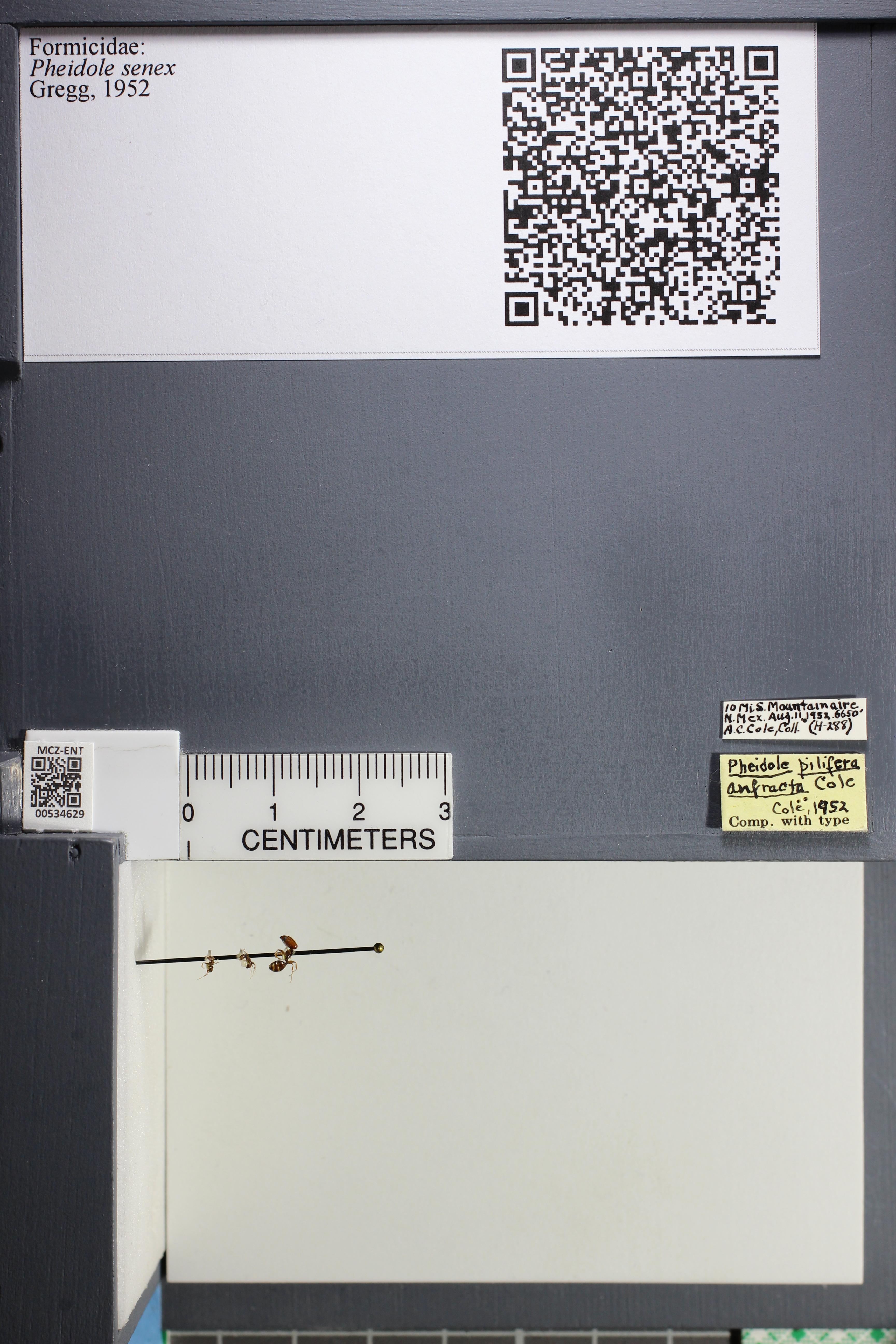 Media of type image, MCZ:Ent:534629 Identified as Pheidole senex.