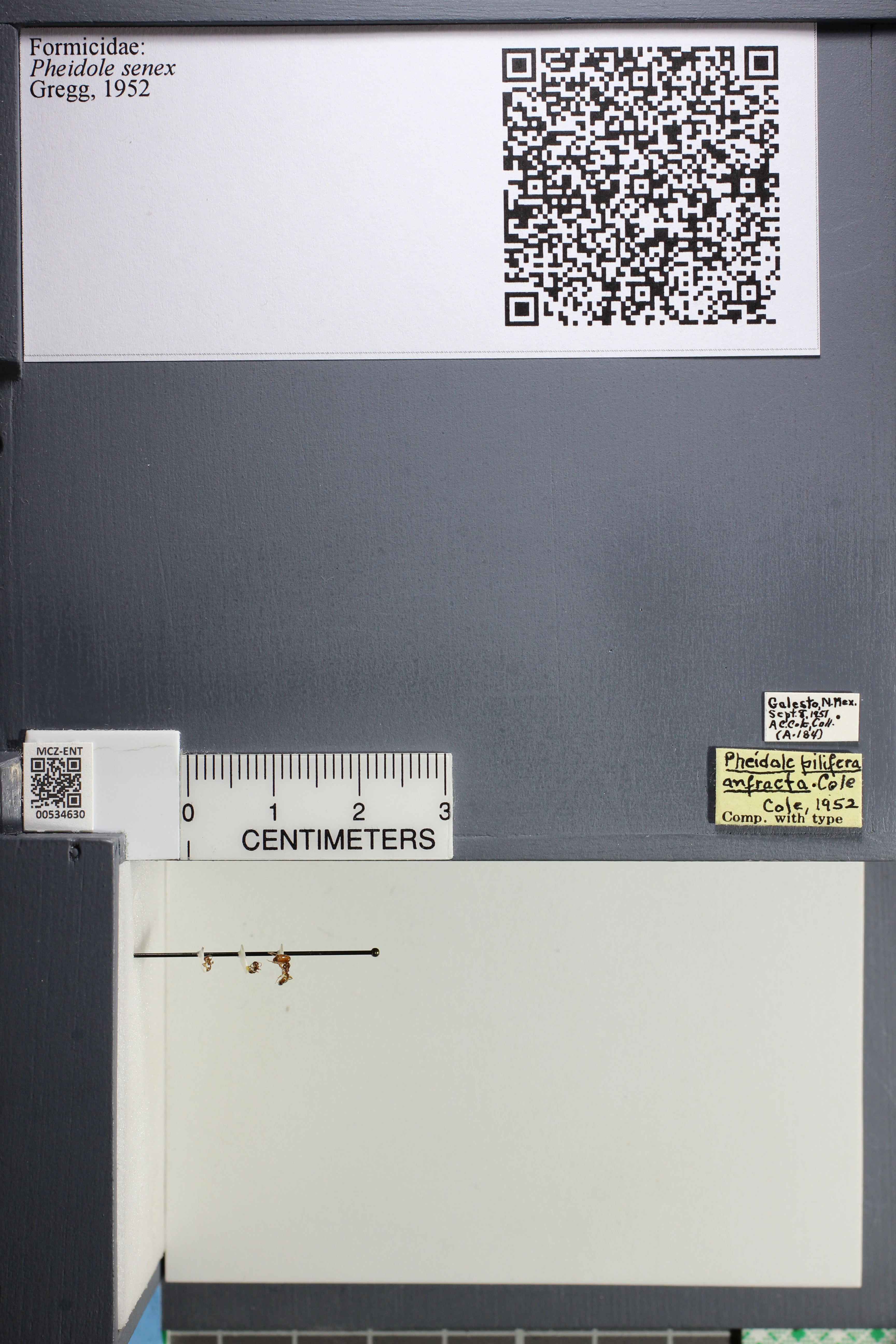 Media of type image, MCZ:Ent:534630 Identified as Pheidole senex.
