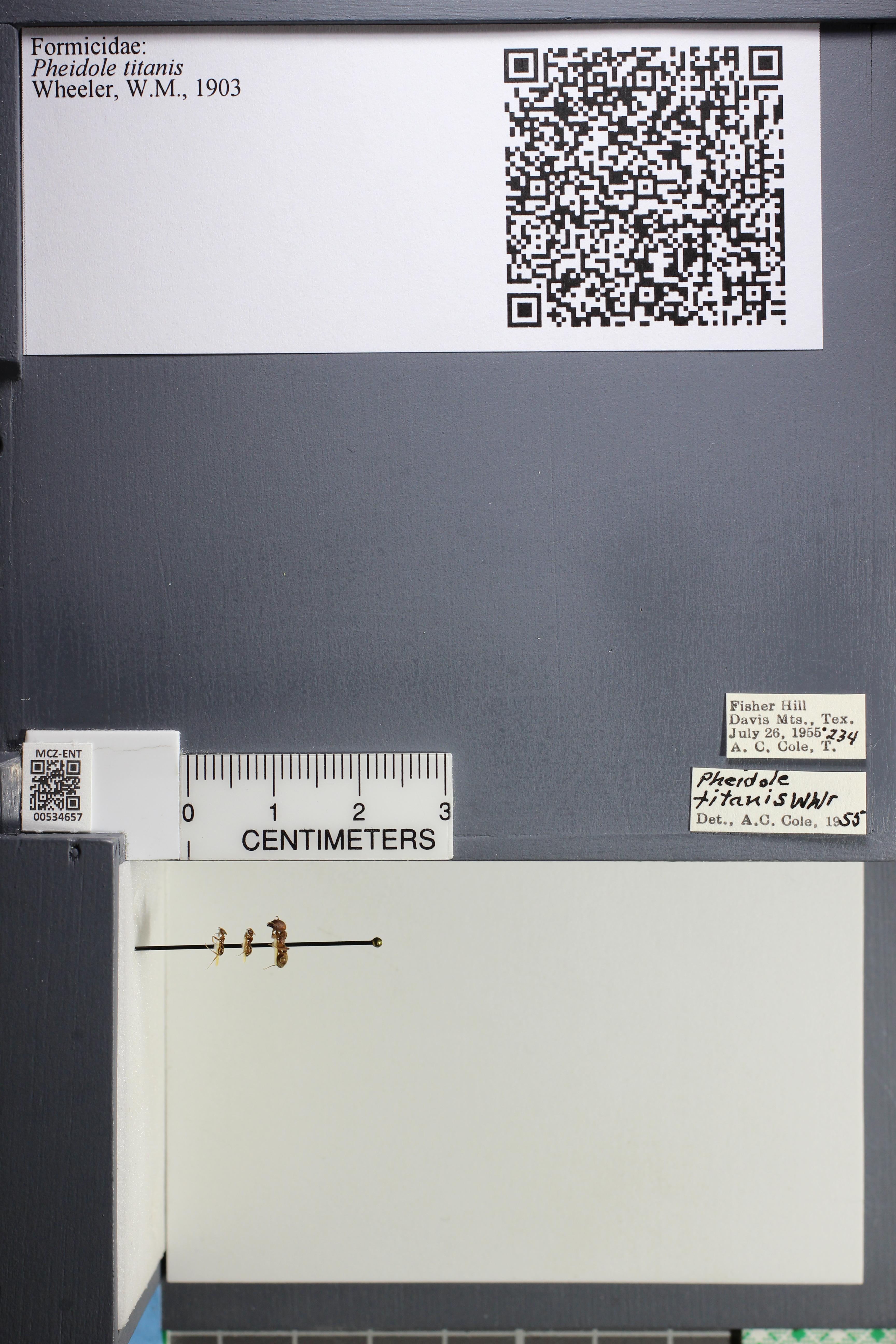 Media of type image, MCZ:Ent:534657 Identified as Pheidole titanis.