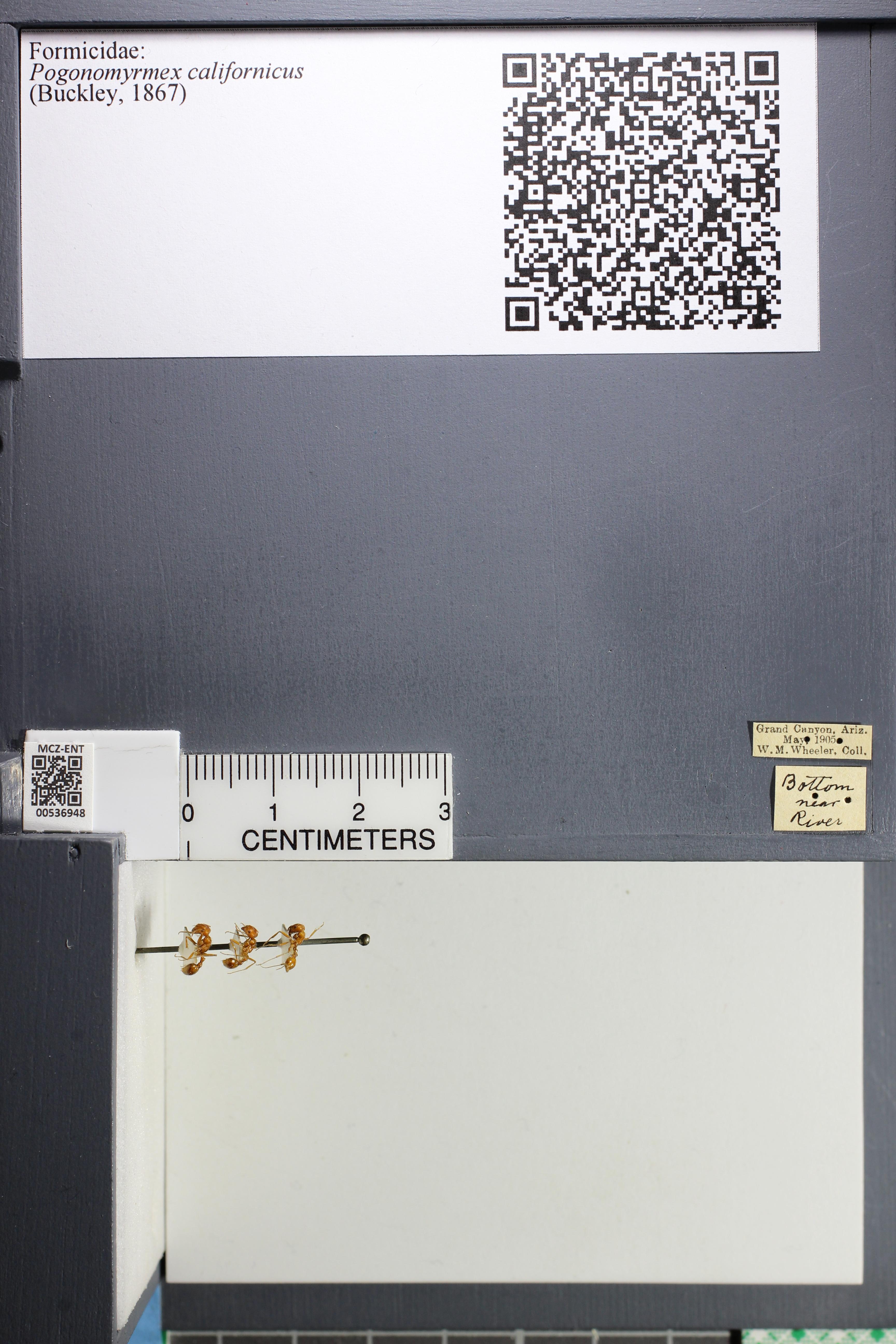 http://mczbase.mcz.harvard.edu/specimen_images/ent-formicidae/datashot/2014_12_03/IMG_307063.JPG