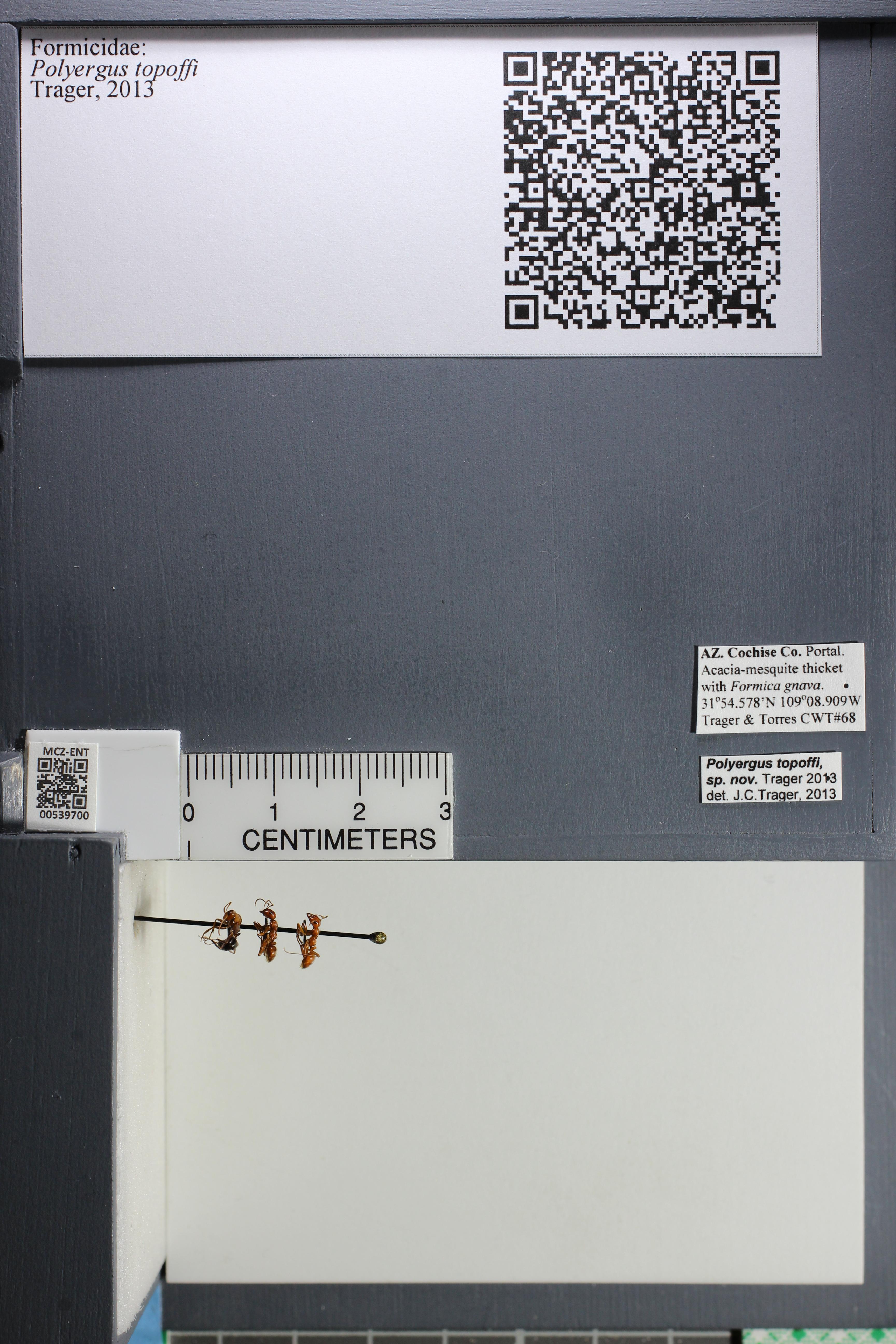 Media of type image, MCZ:Ent:539700 Identified as Polyergus topoffi.