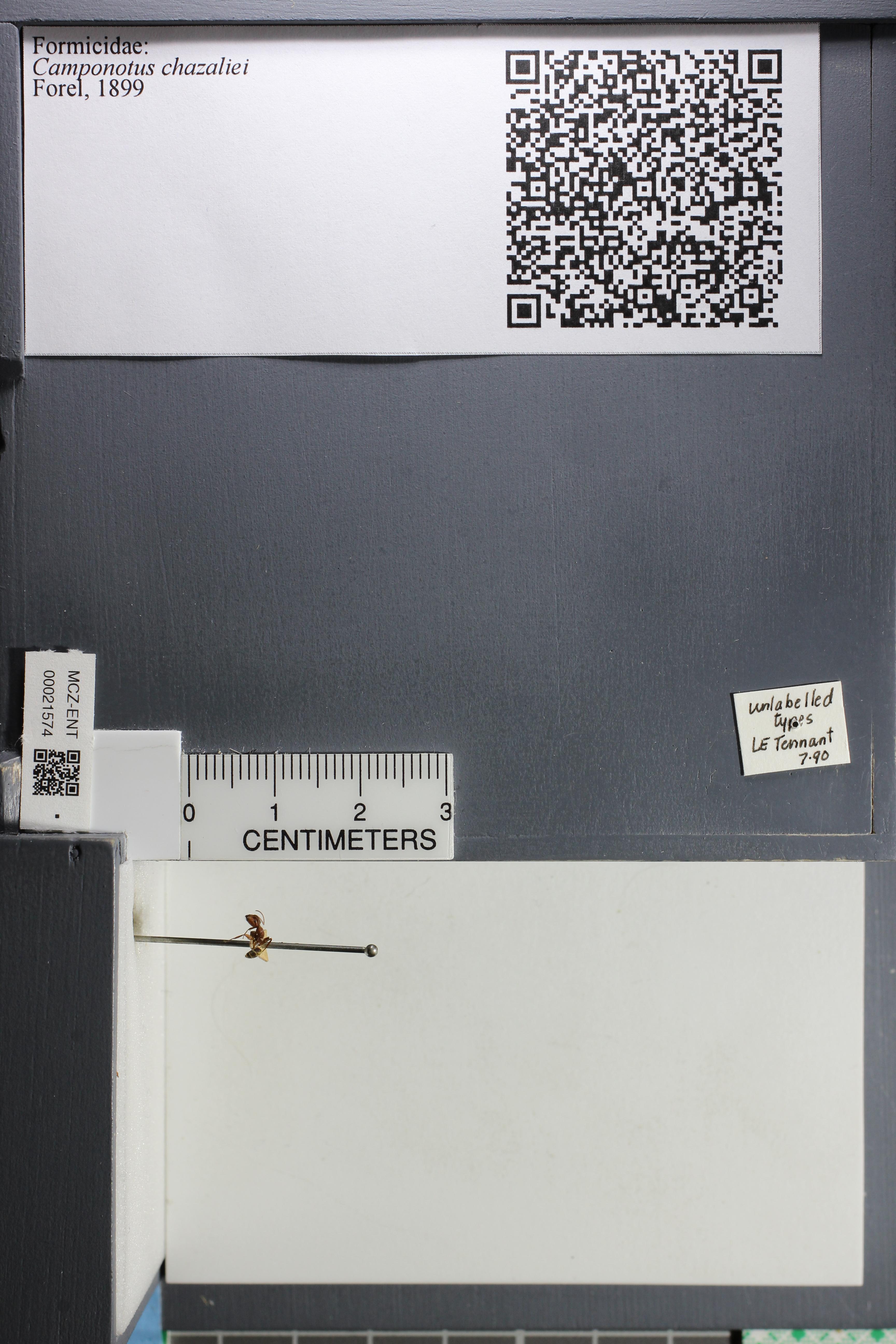 Image of Camponotus chazaliei