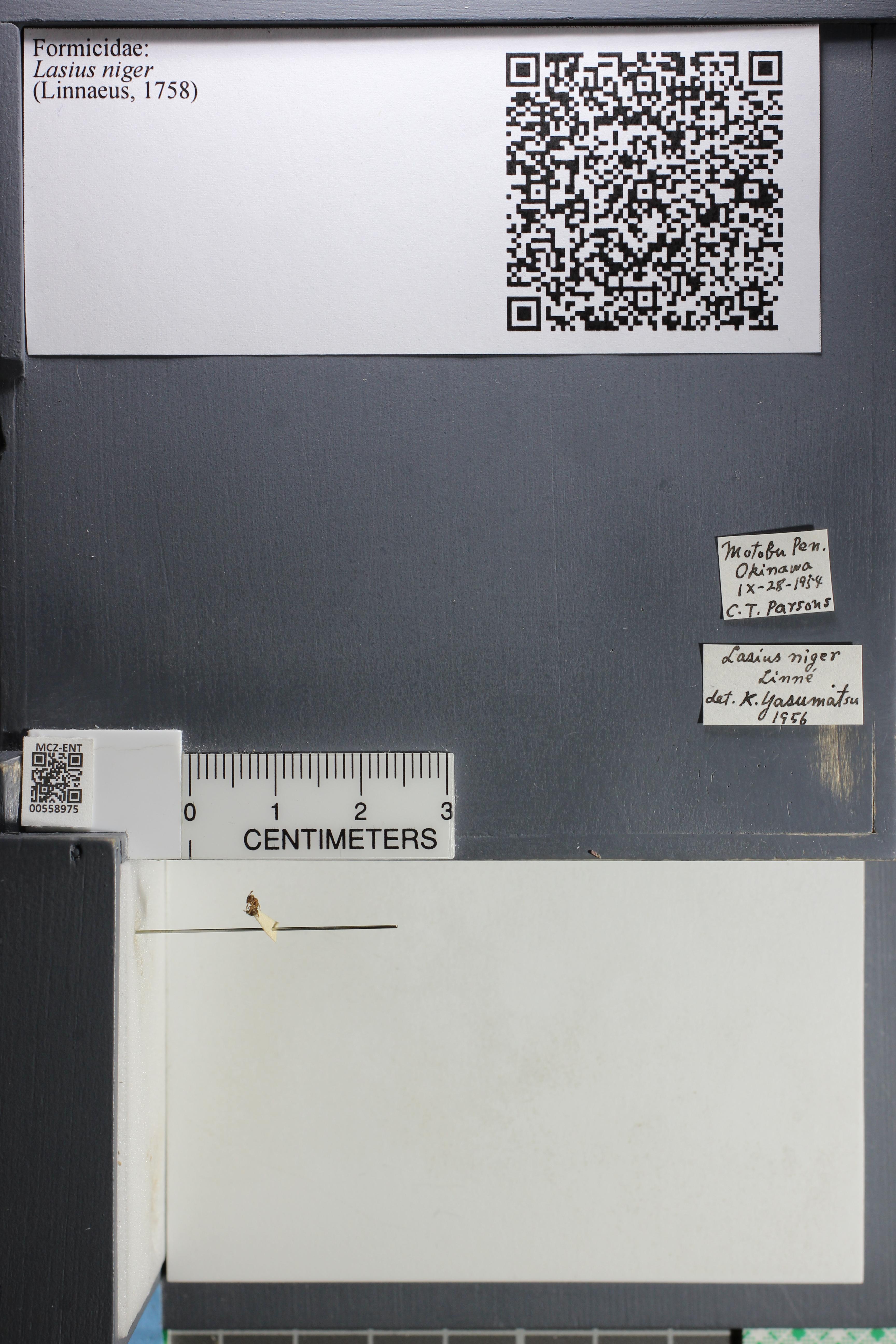 Media of type image, MCZ:Ent:558975 Identified as Lasius niger.