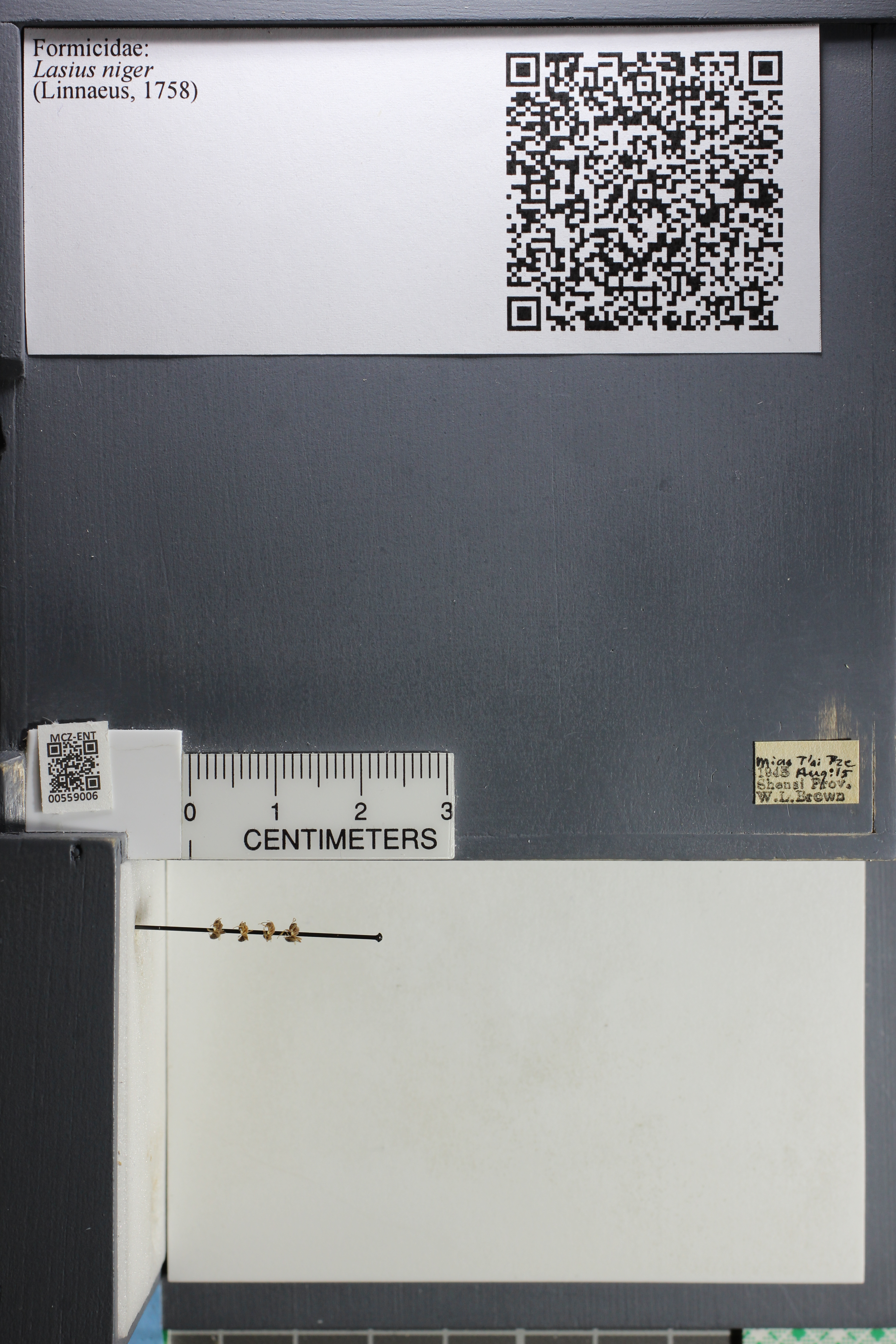 Media of type image, MCZ:Ent:559006 Identified as Lasius niger.
