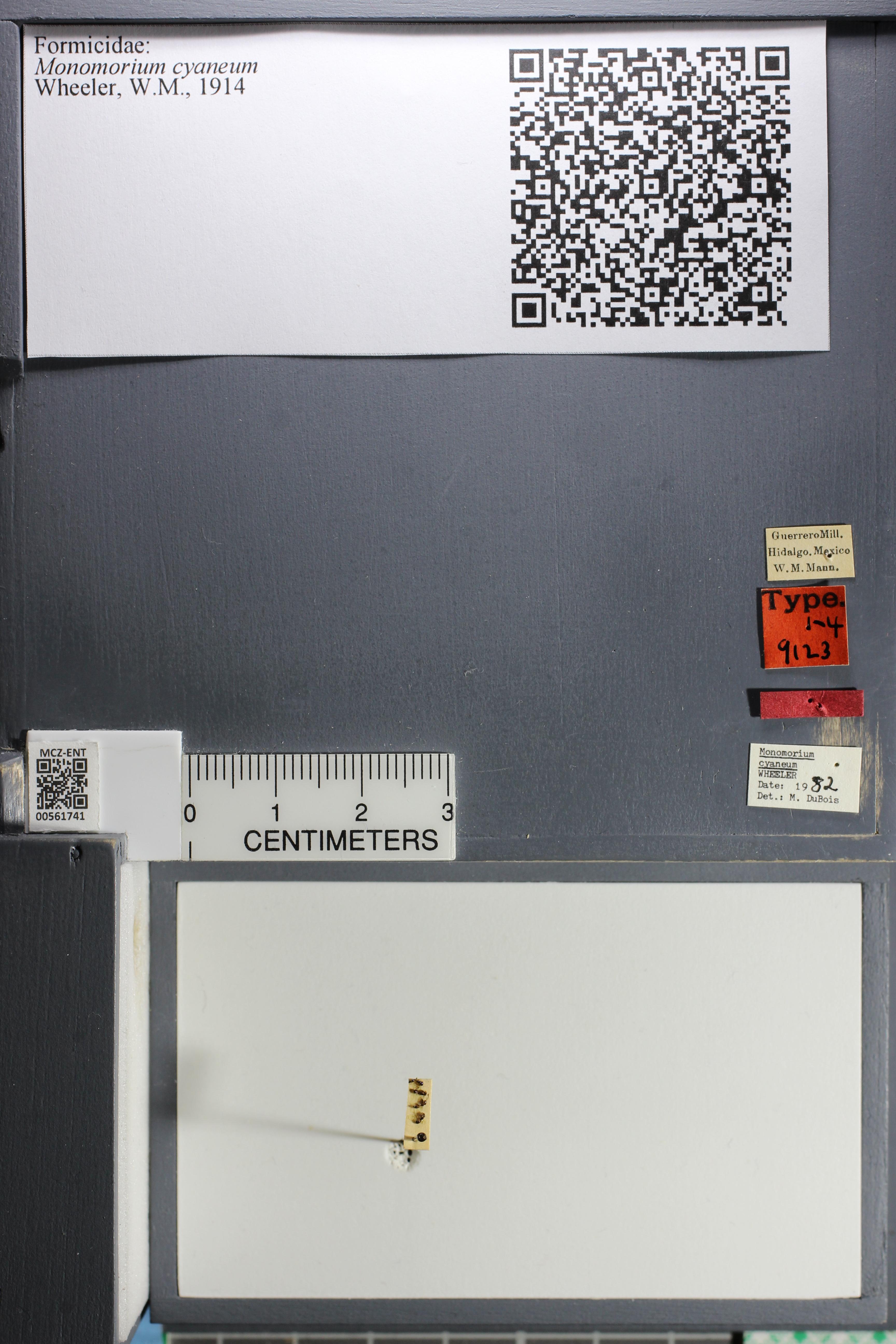 Image of Monomorium cyaneum