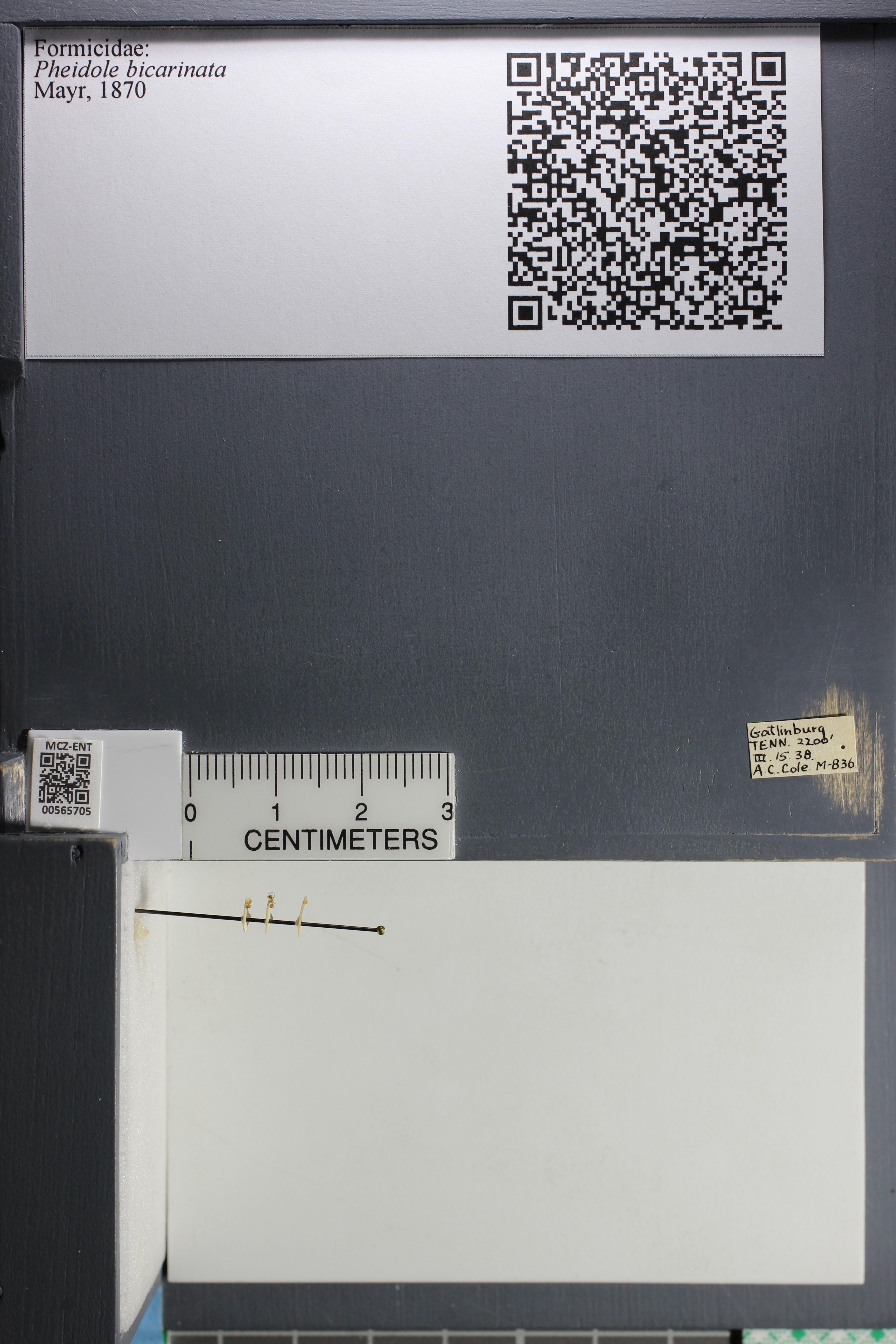 http://mczbase.mcz.harvard.edu/specimen_images/ent-formicidae/datashot/2015_06_30/IMG_329389.JPG