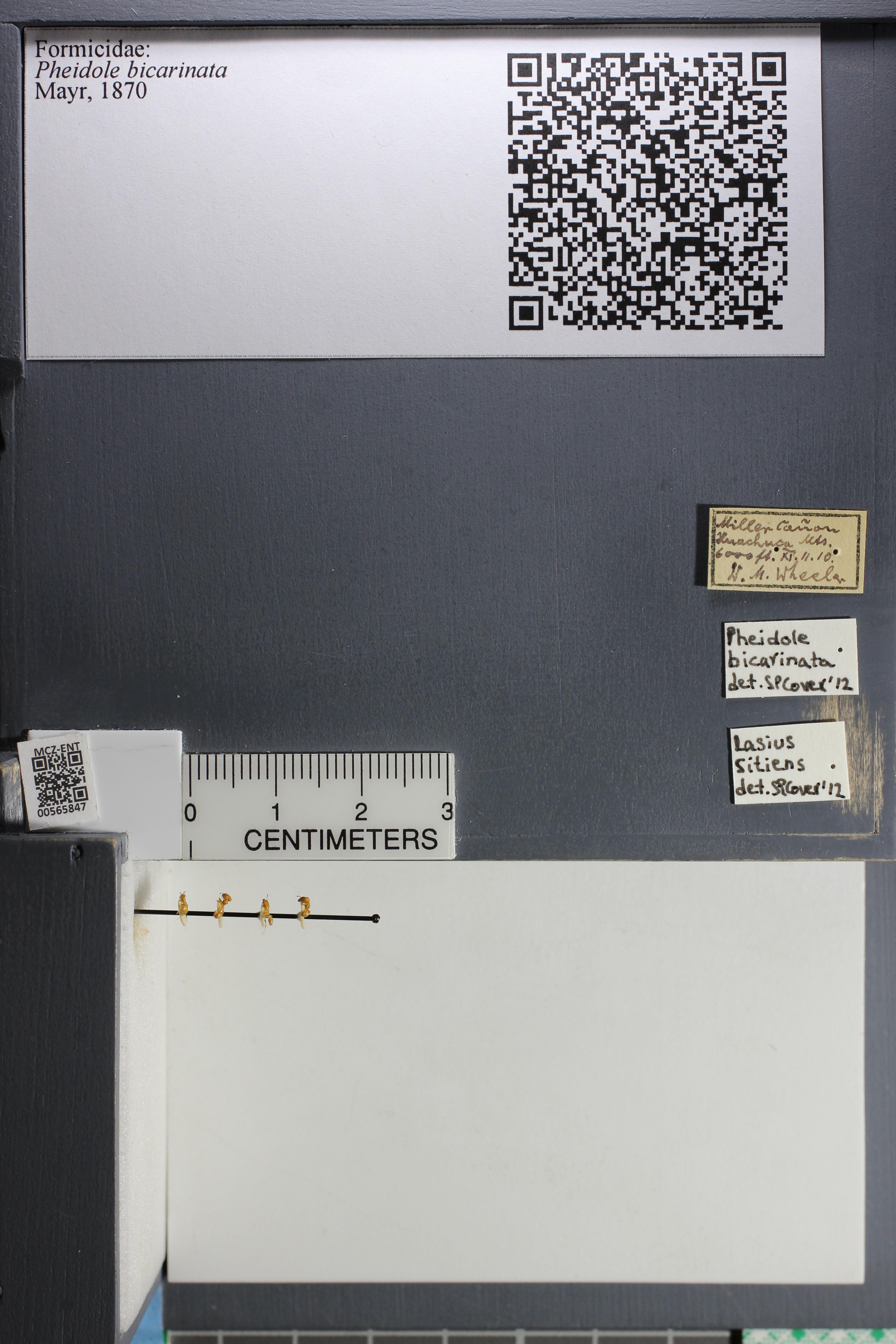 http://mczbase.mcz.harvard.edu/specimen_images/ent-formicidae/datashot/2015_06_30/IMG_329540.JPG