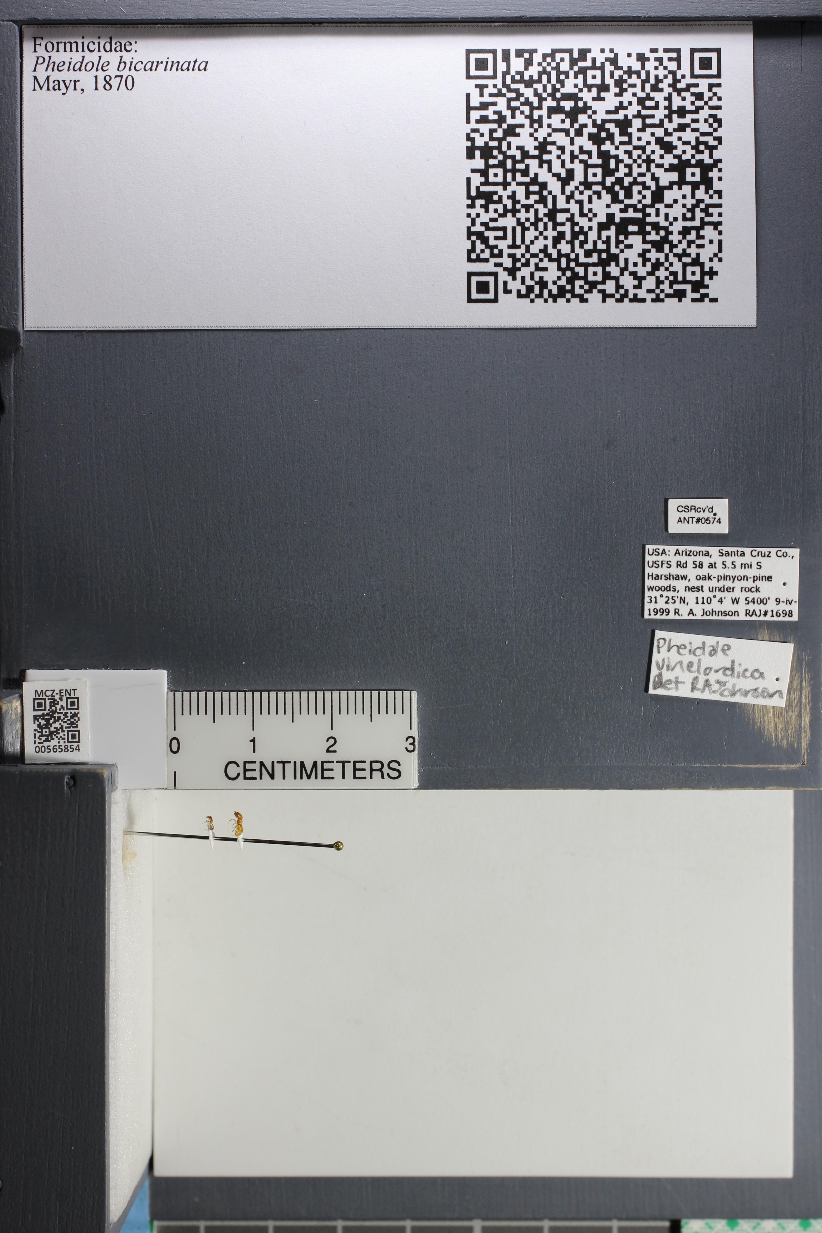 Media of type image, MCZ:Ent:565854 Identified as Pheidole bicarinata.