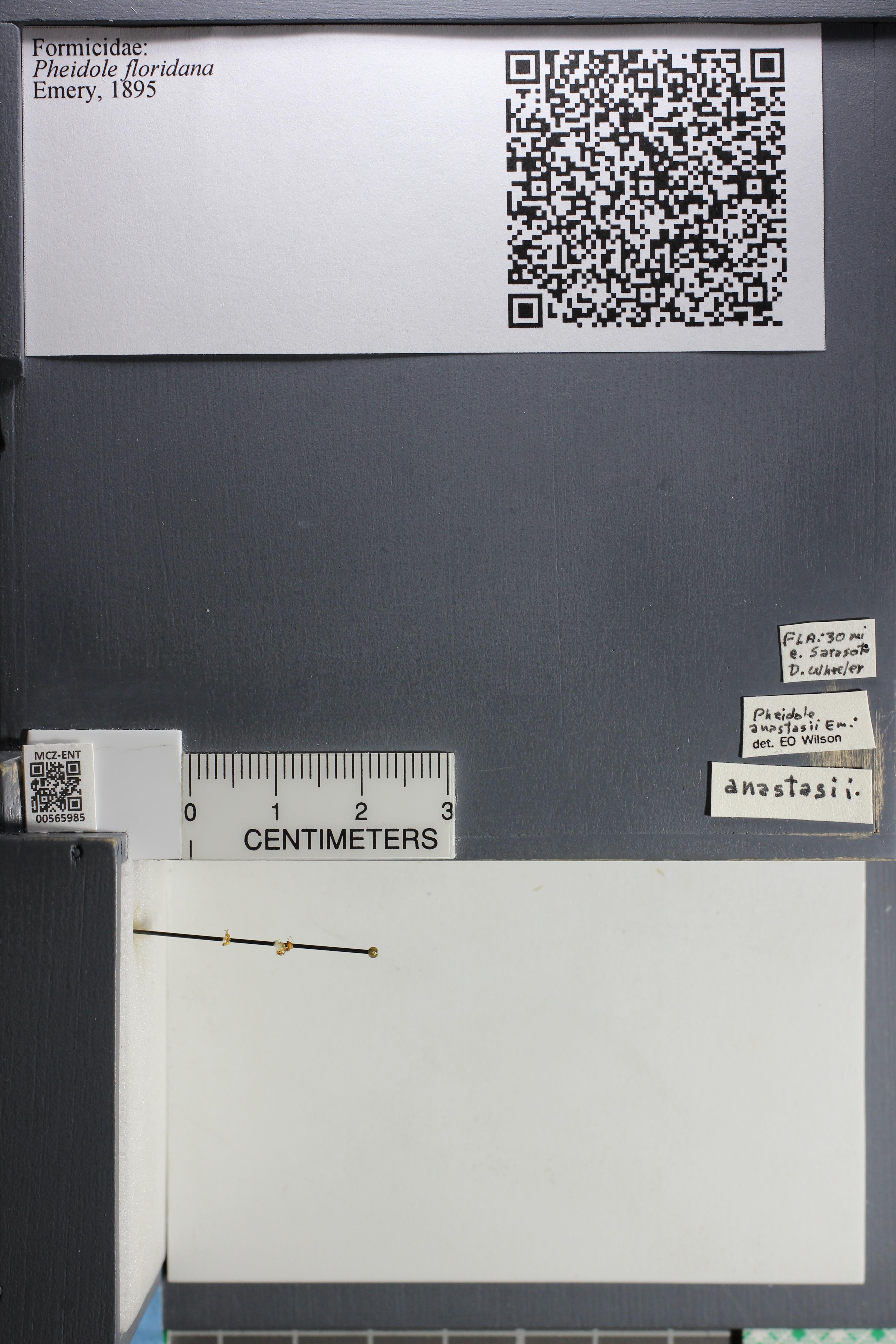 Media of type image, MCZ:Ent:565985 Identified as Pheidole floridana.