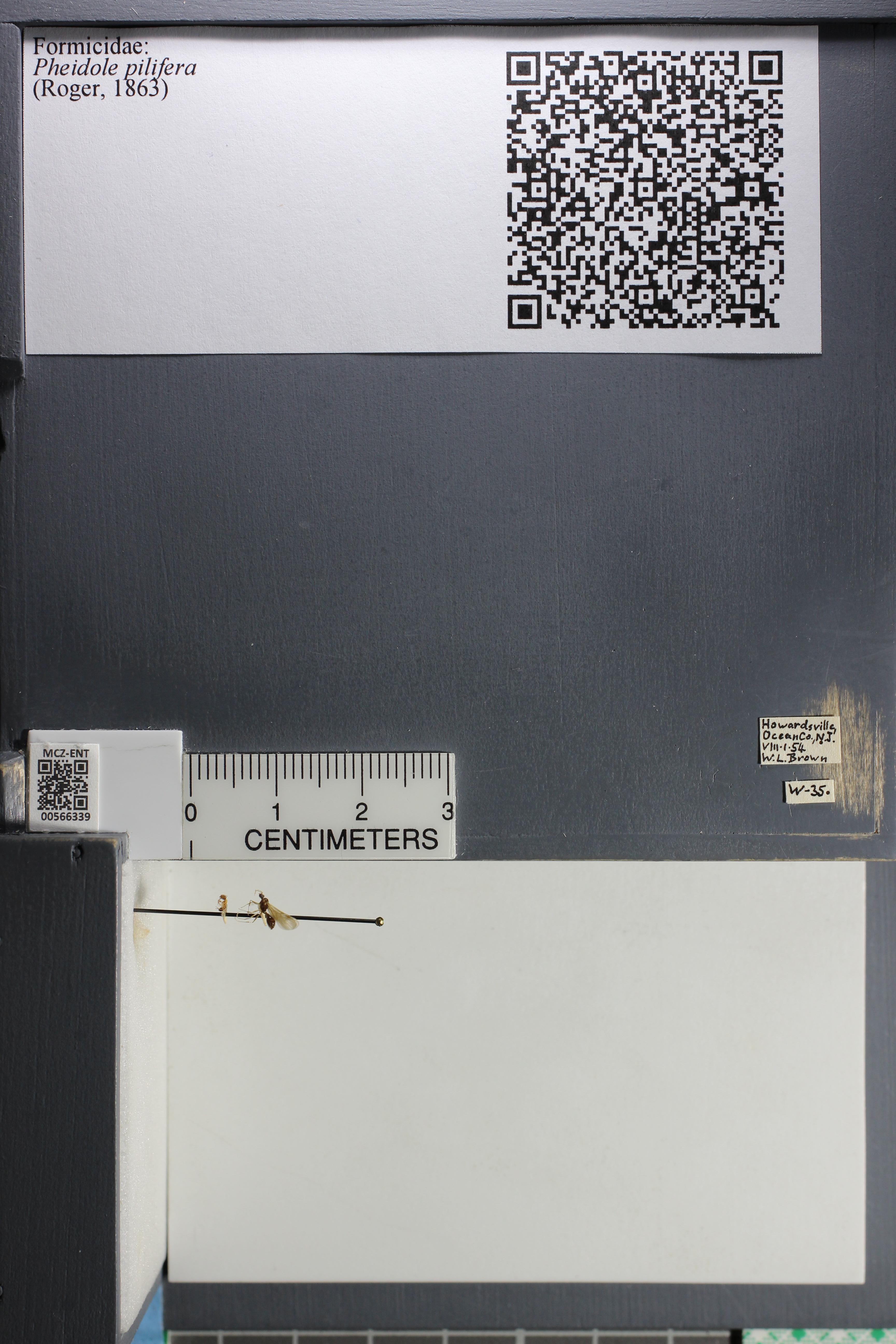 Media of type image, MCZ:Ent:566339 Identified as Pheidole pilifera.