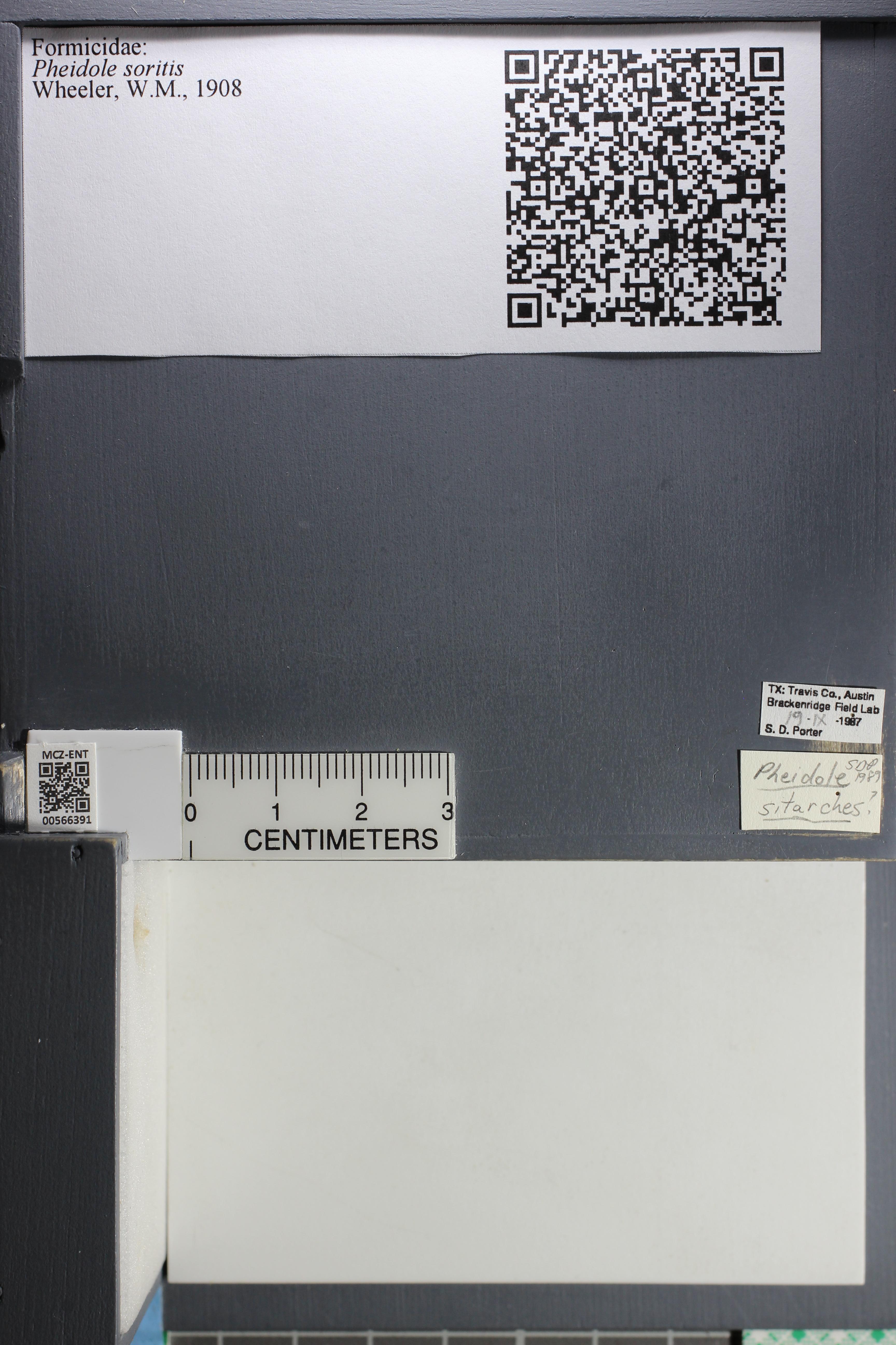 Media of type image, MCZ:Ent:566391 Identified as Pheidole soritis.