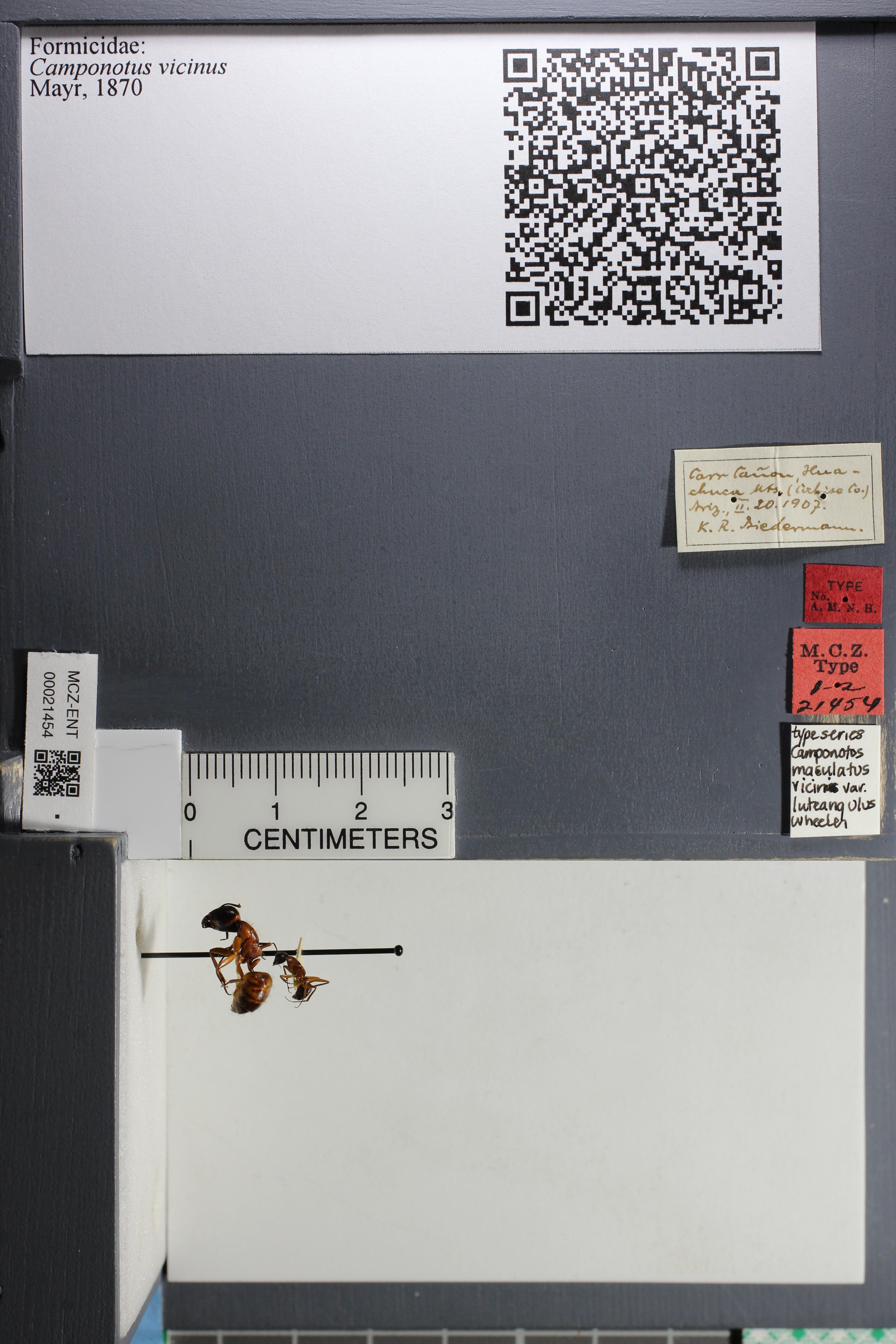 http://mczbase.mcz.harvard.edu/specimen_images/ent-formicidae/datashot/2015_07_21_TYPES/IMG_332582.JPG