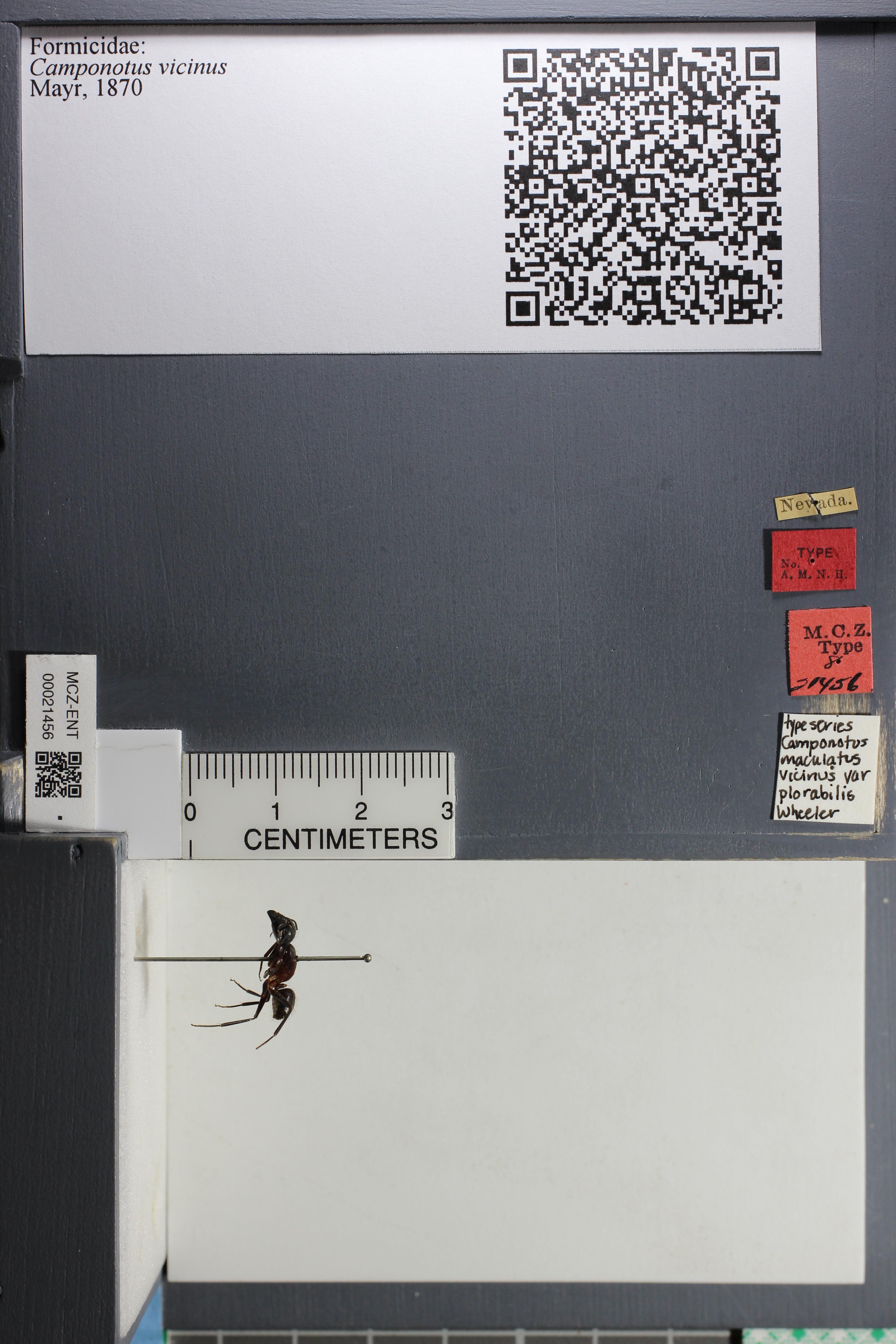 http://mczbase.mcz.harvard.edu/specimen_images/ent-formicidae/datashot/2015_07_21_TYPES/IMG_332585.JPG