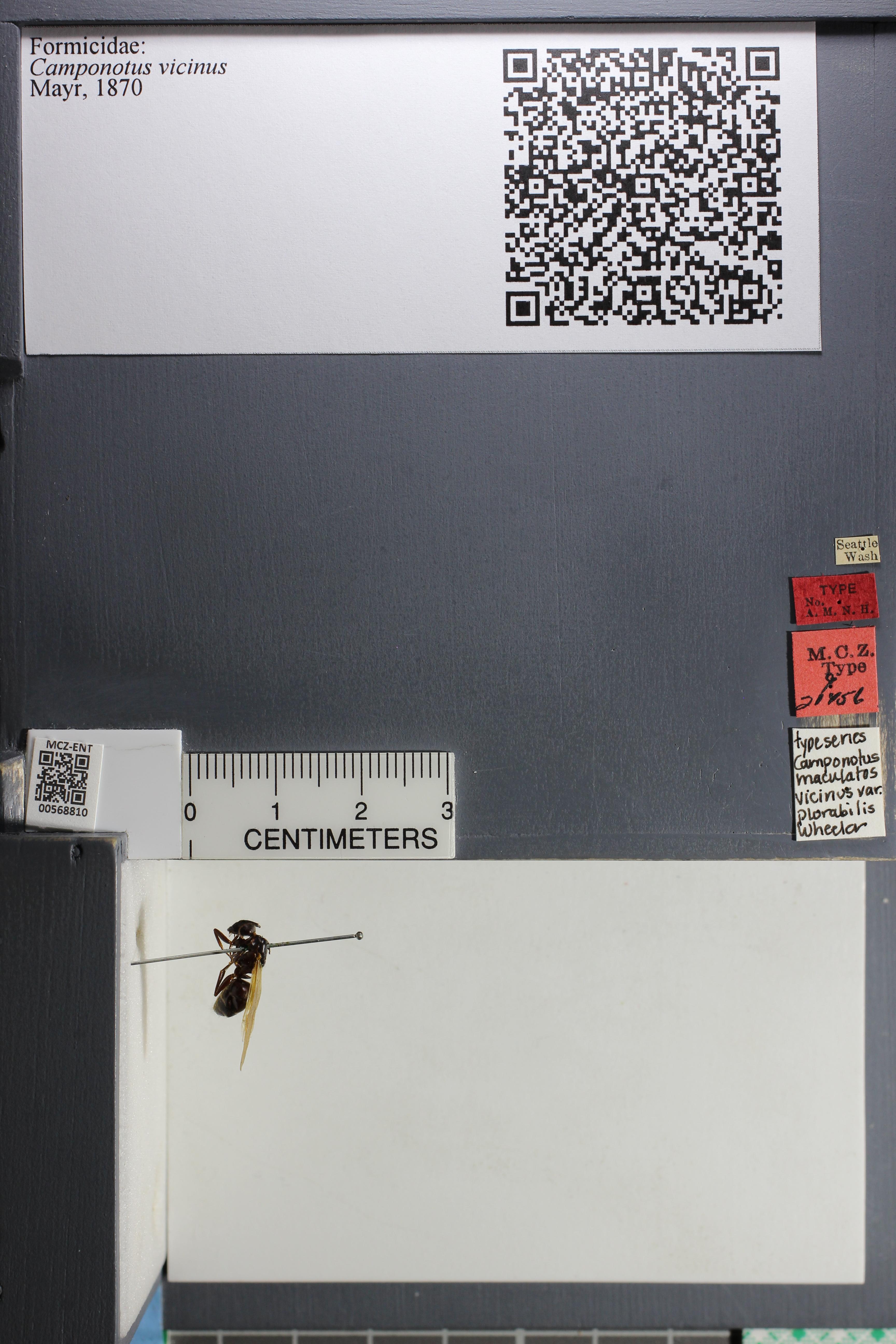 http://mczbase.mcz.harvard.edu/specimen_images/ent-formicidae/datashot/2015_07_21_TYPES/IMG_332586.JPG