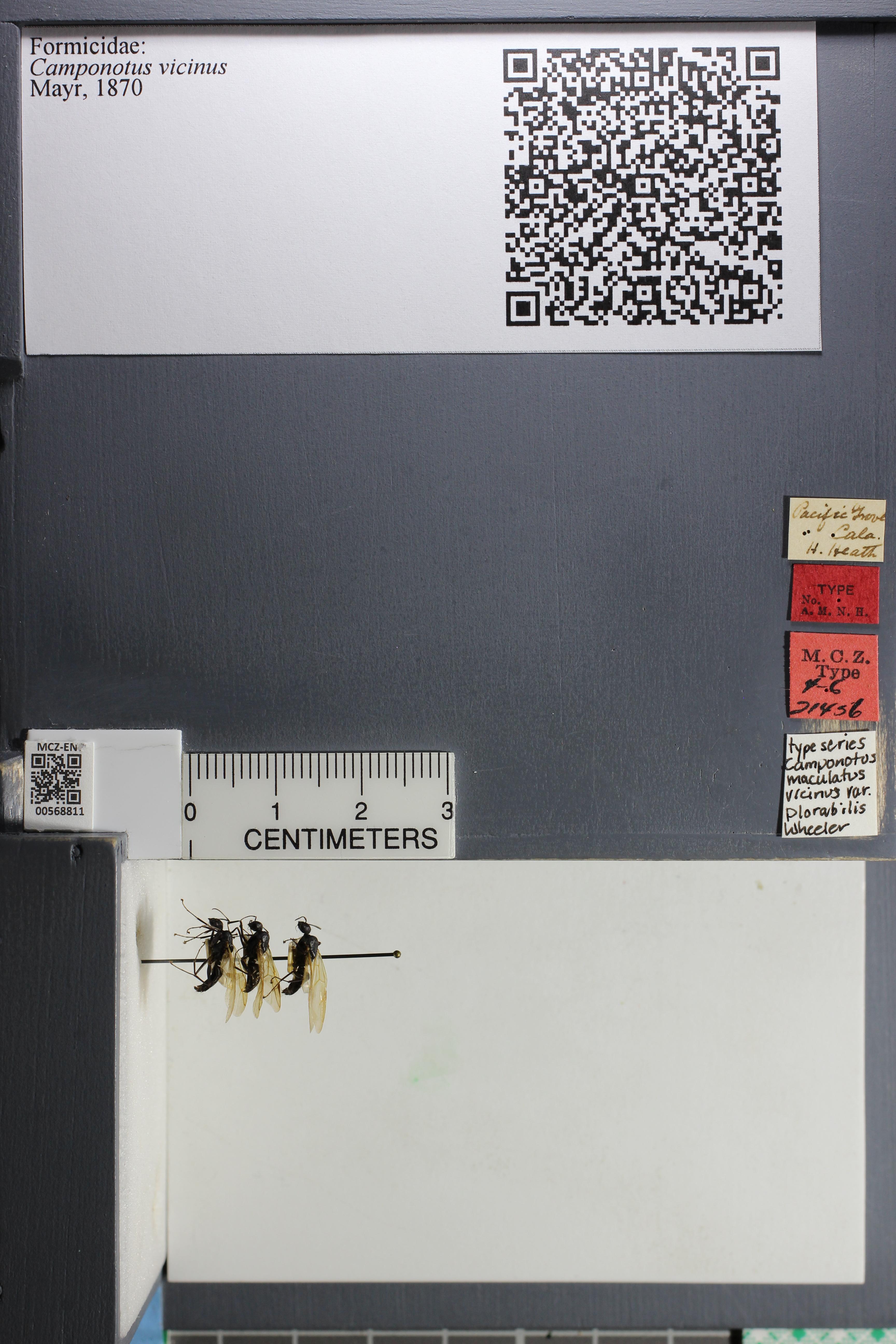 http://mczbase.mcz.harvard.edu/specimen_images/ent-formicidae/datashot/2015_07_21_TYPES/IMG_332589.JPG